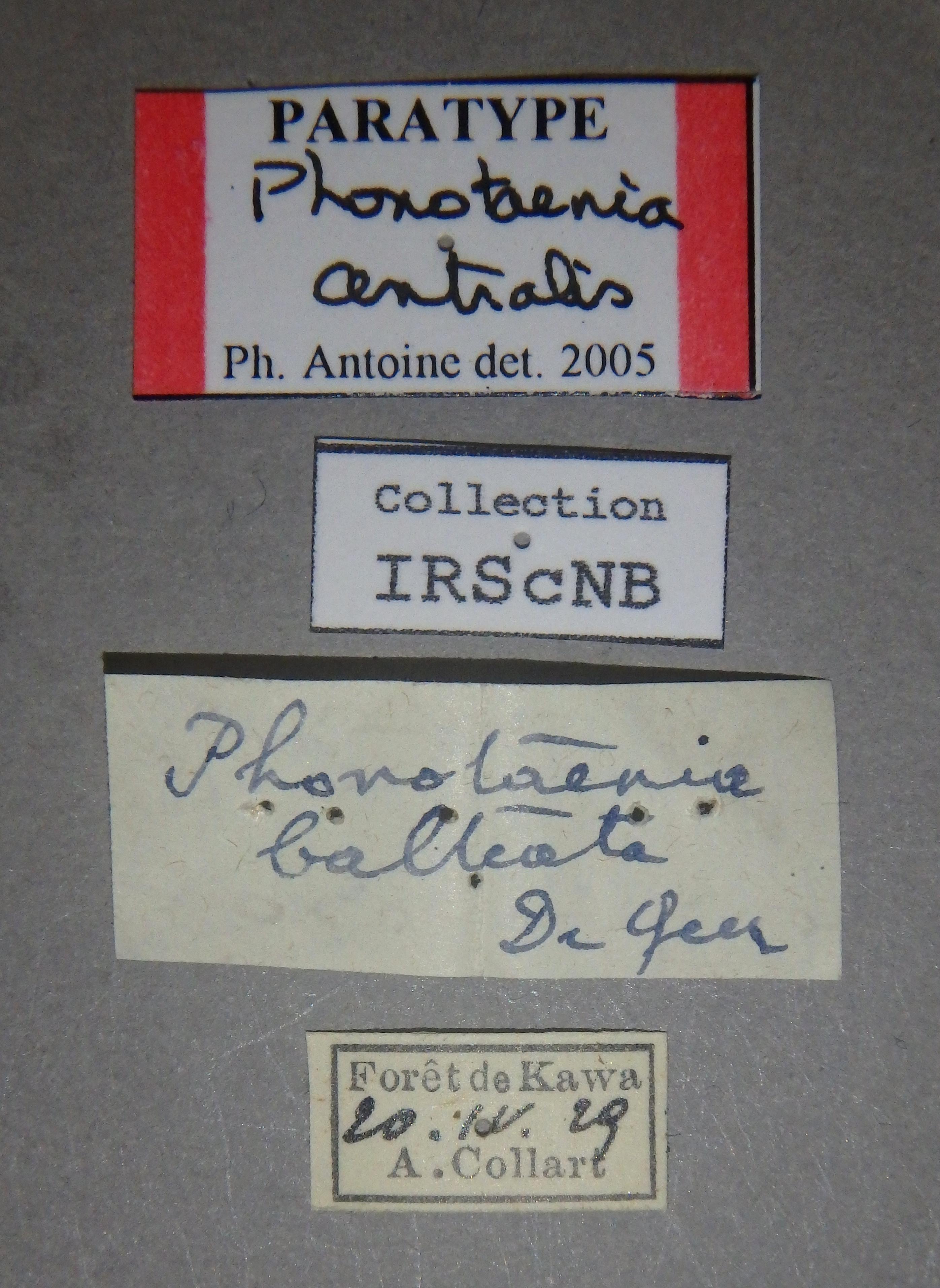 Phonotaenia centralis pt2 Lb.JPG