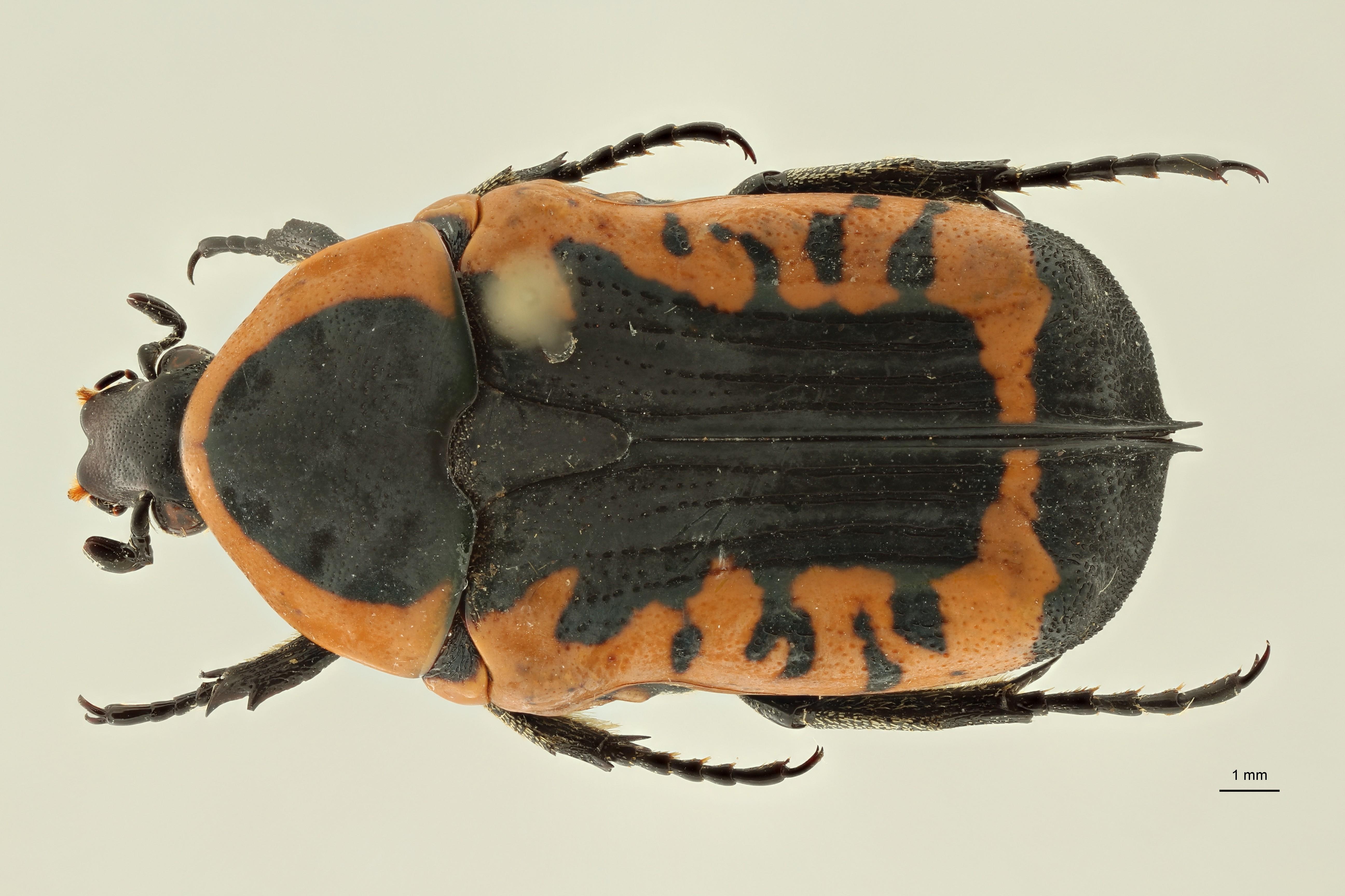 Phonotaenia drumonti pt D ZS PMax Scaled.jpeg