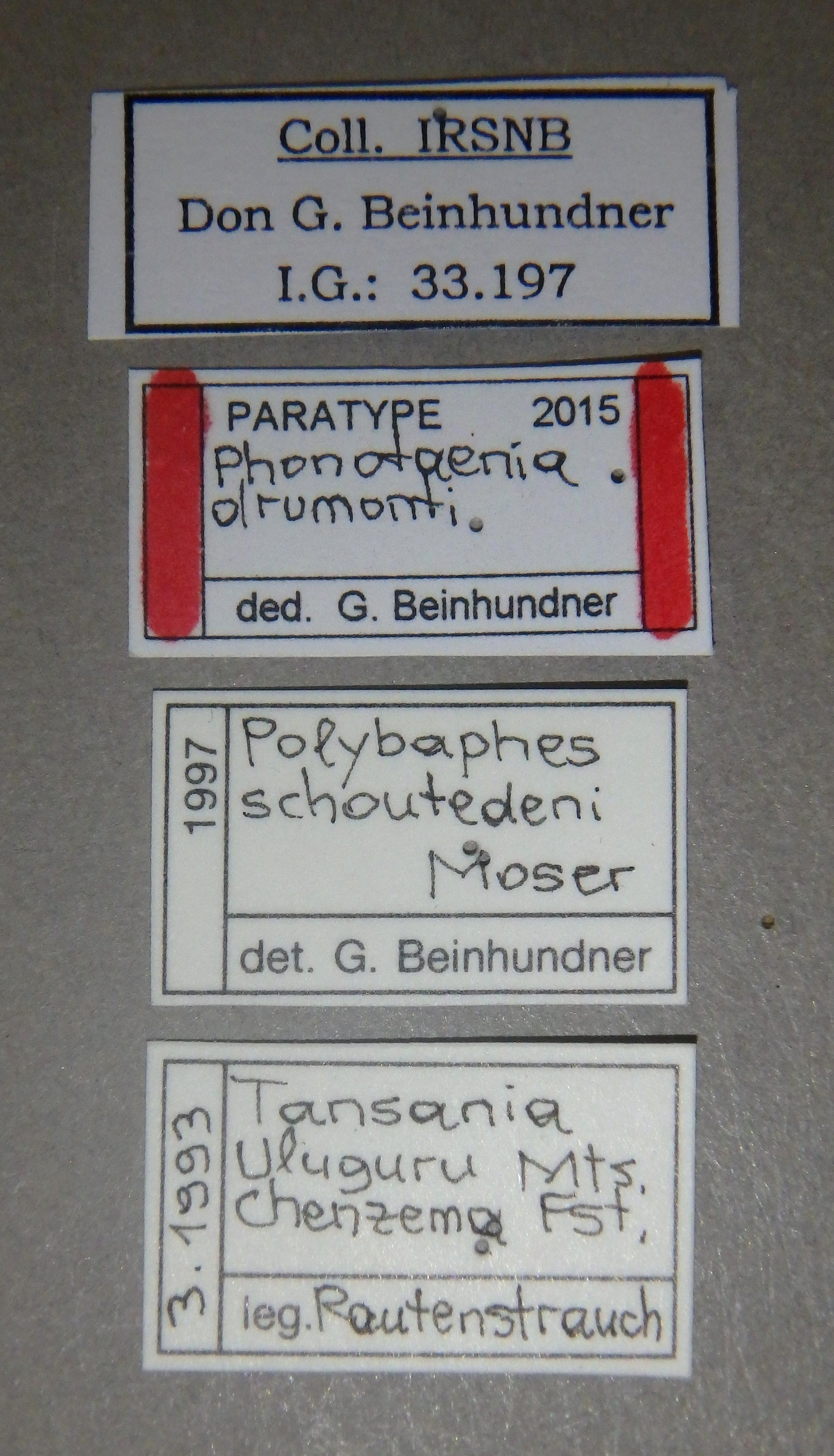 Phonotaenia drumonti pt Lb.JPG