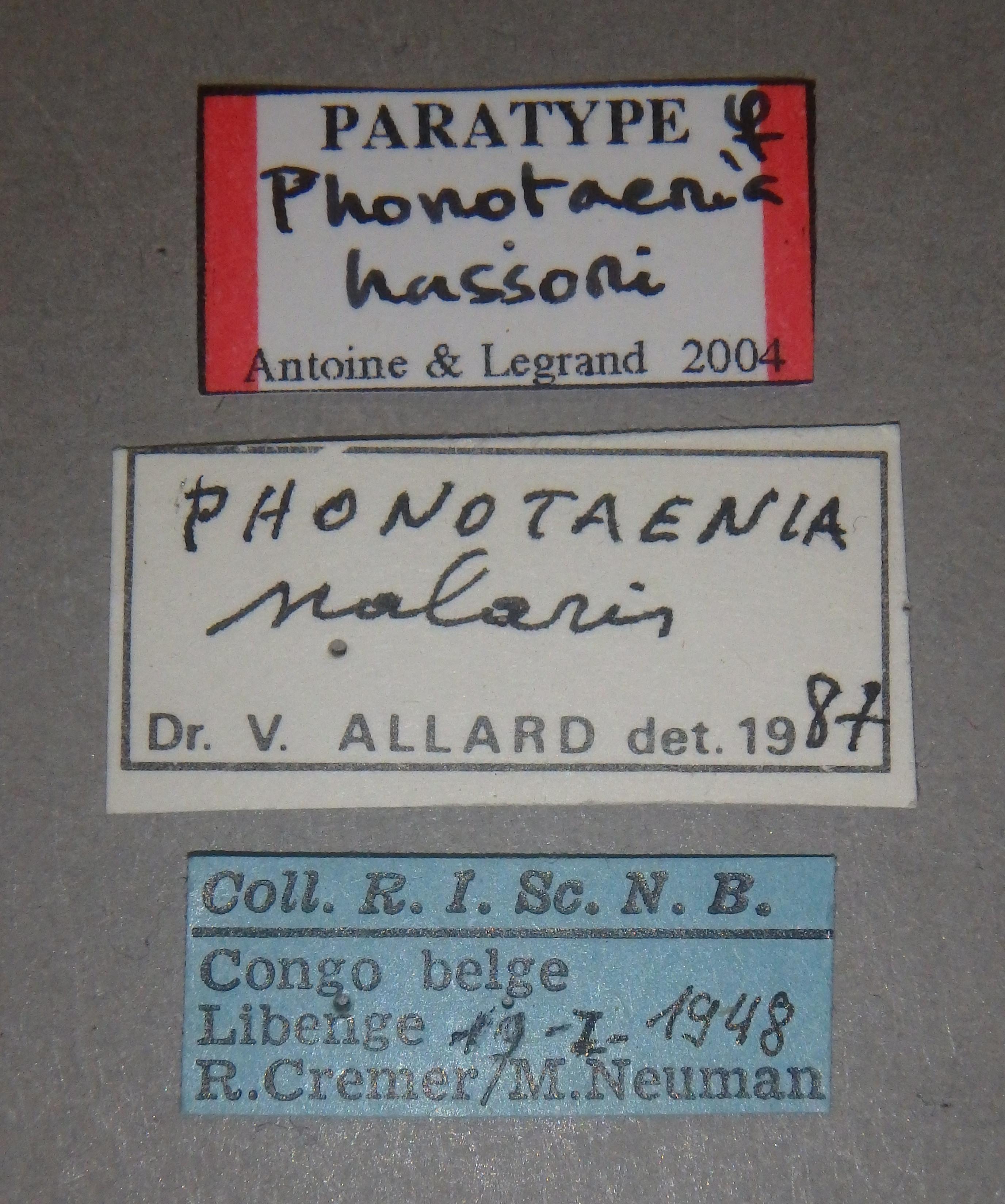 Phonotaenia hassoni pt2 Lb.JPG