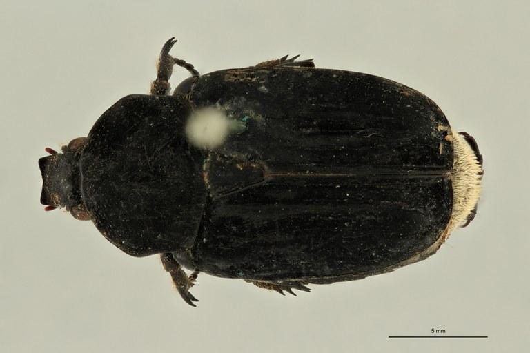 Pilinopyga nigra ht D ZS PMax Scaled.jpeg