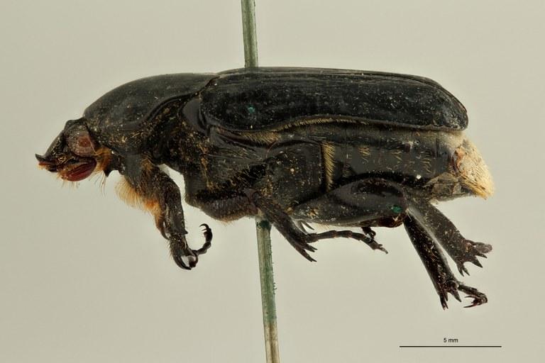 Pilinopyga nigra ht L ZS PMax Scaled.jpeg