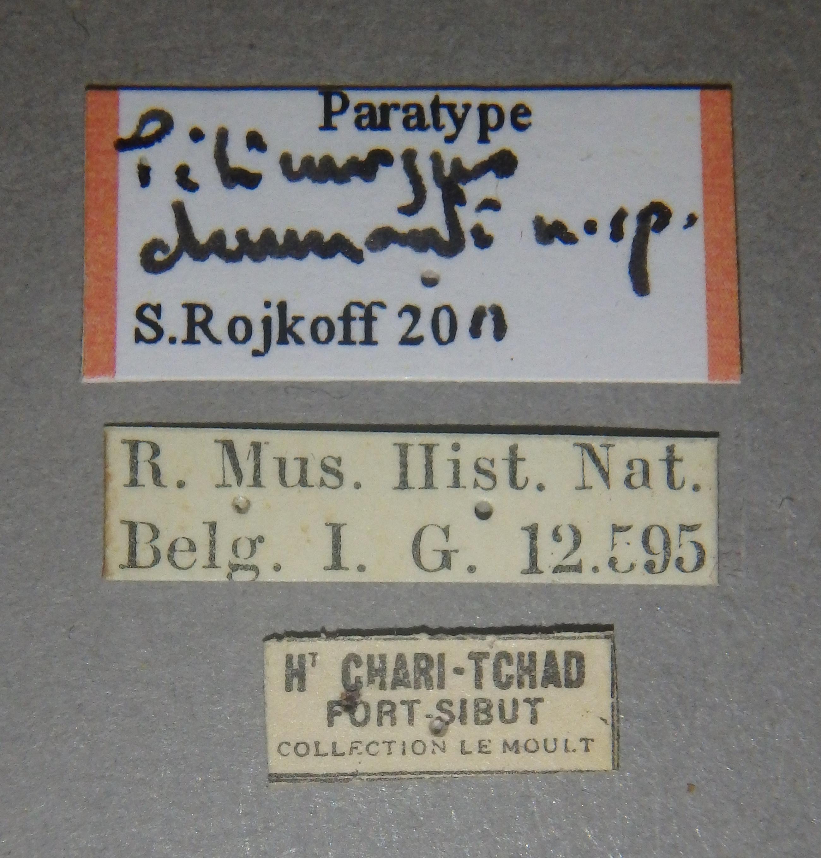 Pilinurgus drumonti pt Lb.JPG
