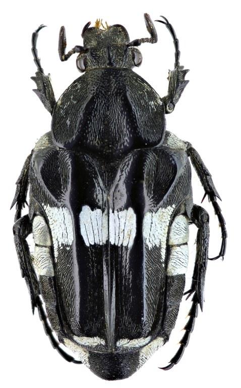Pleuronota lumawigi 22053zs65.jpg