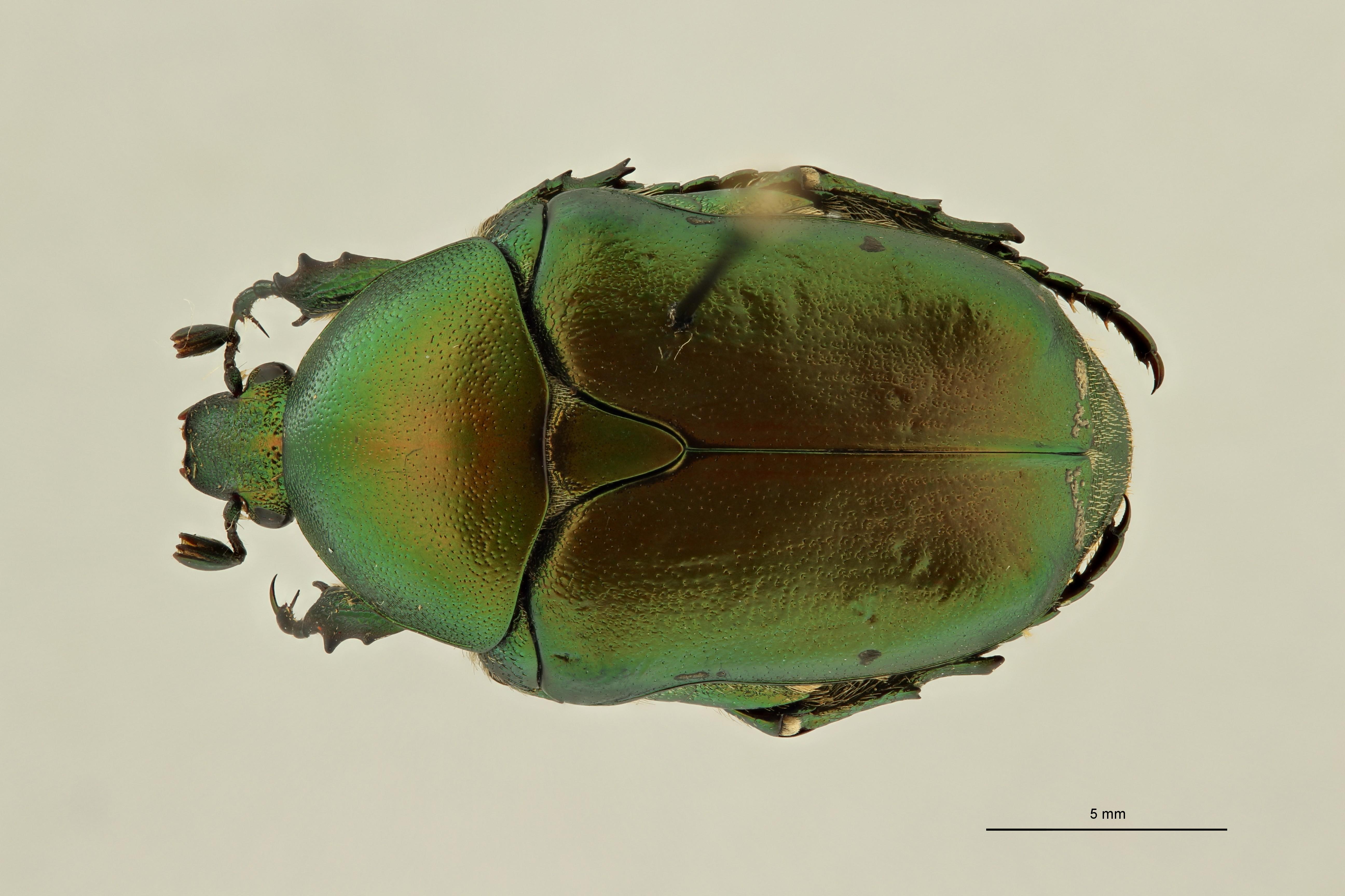 Potosia hungarica armeniaca var. rosae pt2 D ZS PMax Scaled.jpeg
