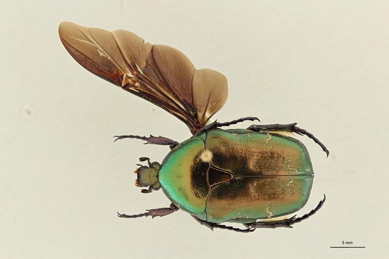 Potosia cuprea rhodensis pt DG ZS PMax Scaled.jpeg