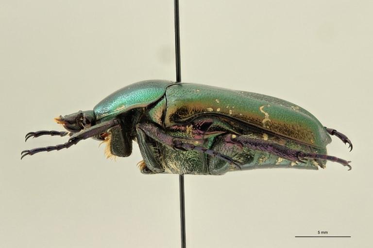 Potosia cuprea rhodensis pt L ZS PMax Scaled.jpeg