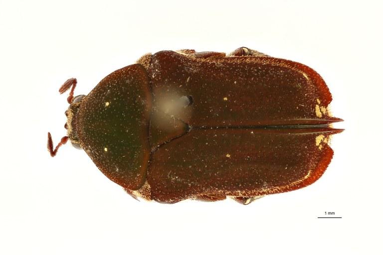 Protaetia fruhstorferi pt D ZS PMax Scaled.jpeg