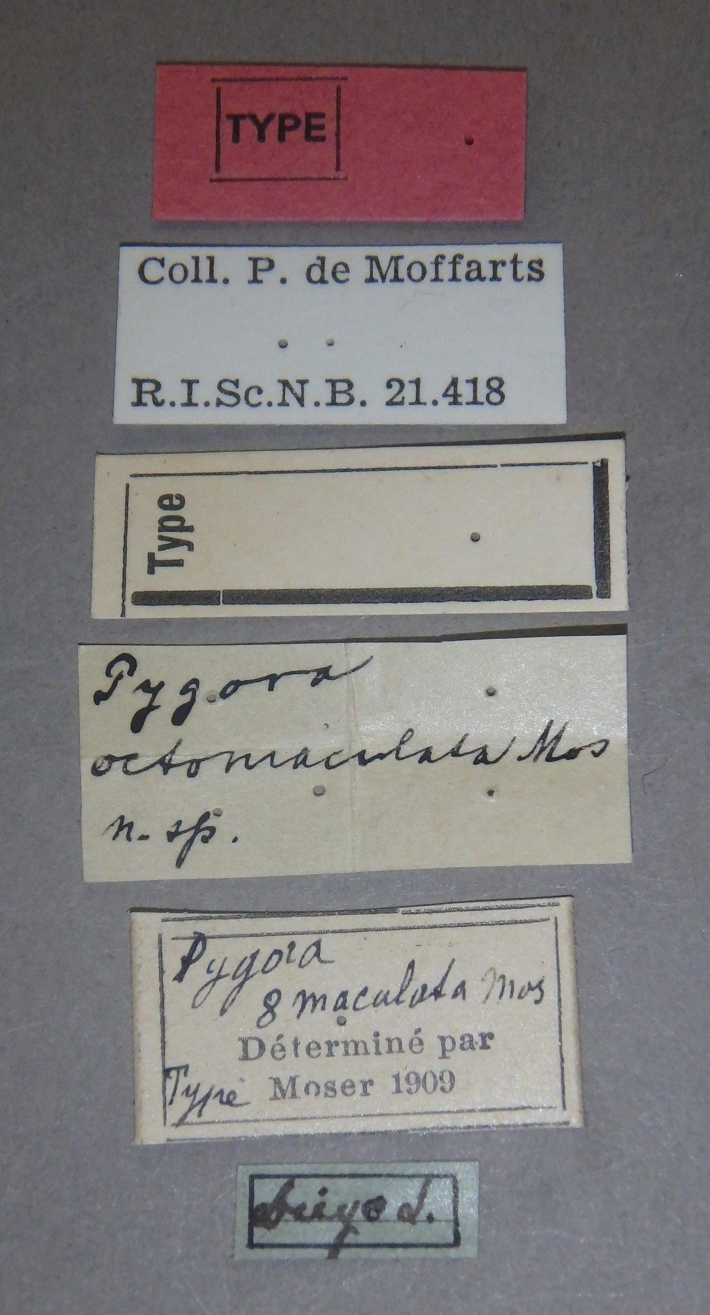 Pygora octomaculata t1 Lb.JPG