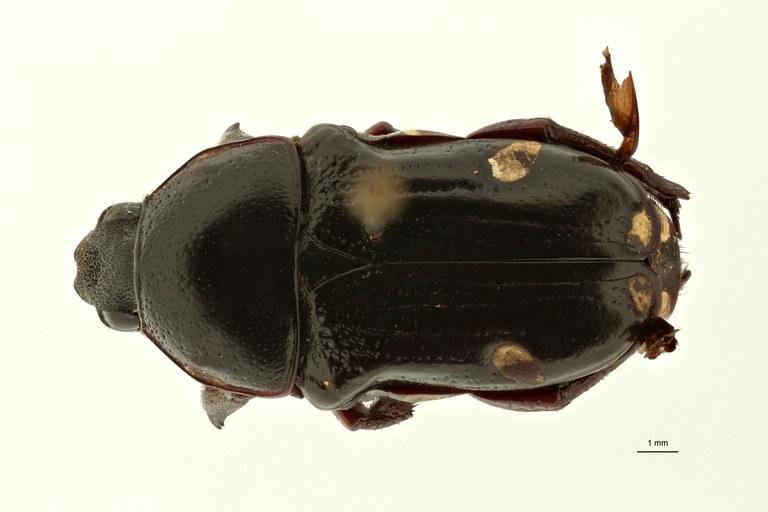 Pygora tristis pt D ZS PMax Scaled.jpeg