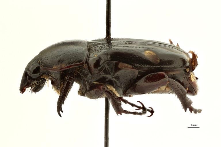 Pygora tristis pt L ZS PMax Scaled.jpeg