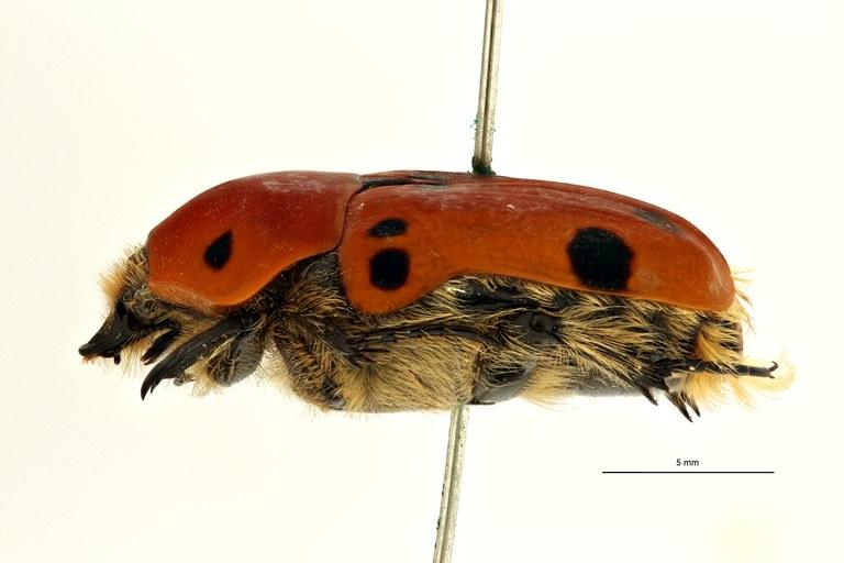 Rhynchocephala hildebrandti t L ZS PMax Scaled.jpeg