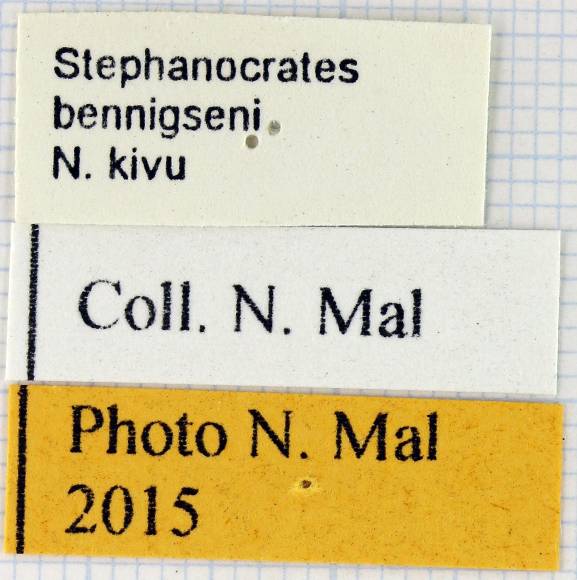 Stephanocrates bennigseni lab.jpg