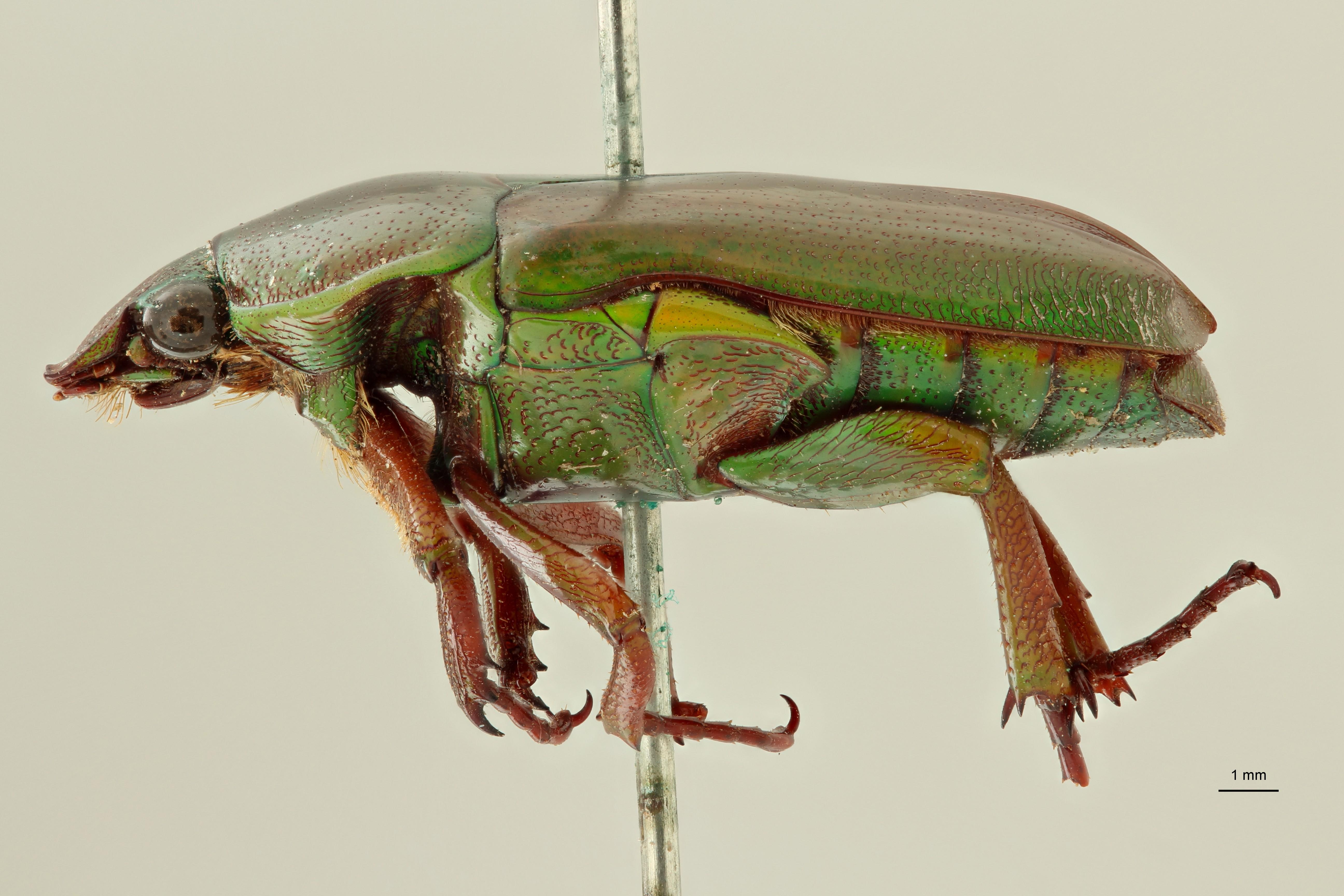 Tmesorrhina tridens t L ZS PMax Scaled.jpeg