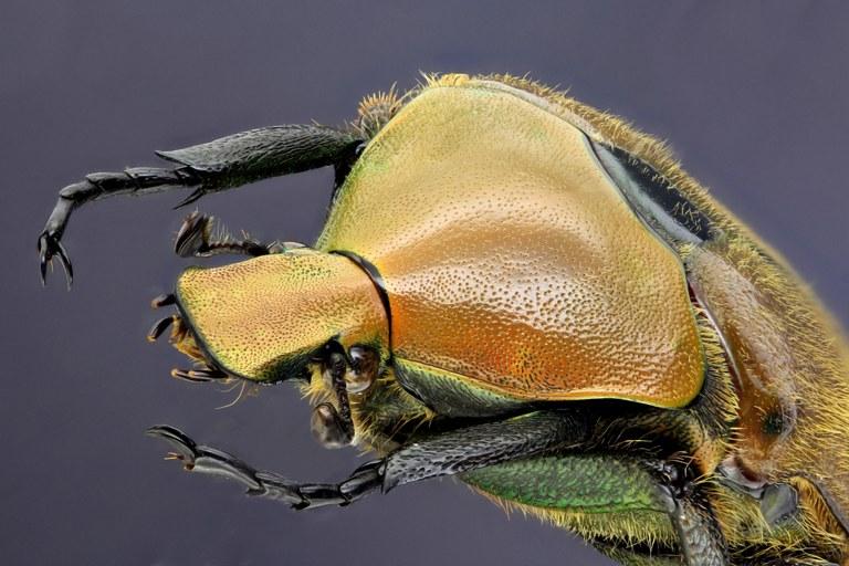 Torynorrhina scutellata 31264zs89.JPG