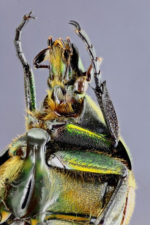 Torynorrhina scutellata 31291zs11.jpg