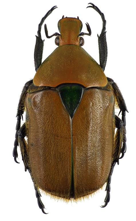 Torynorrhina scutellata 55019cz24.jpg