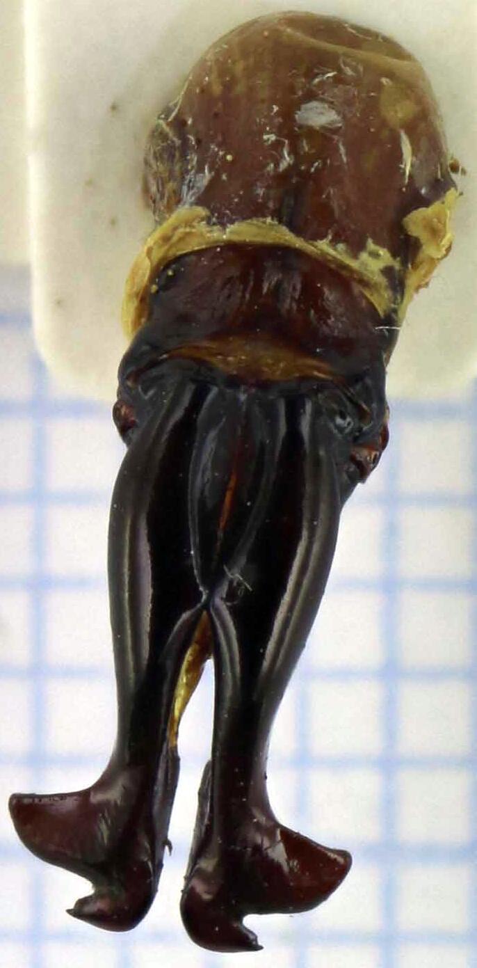 Inca irrorata genitalia 23956zs67.jpg