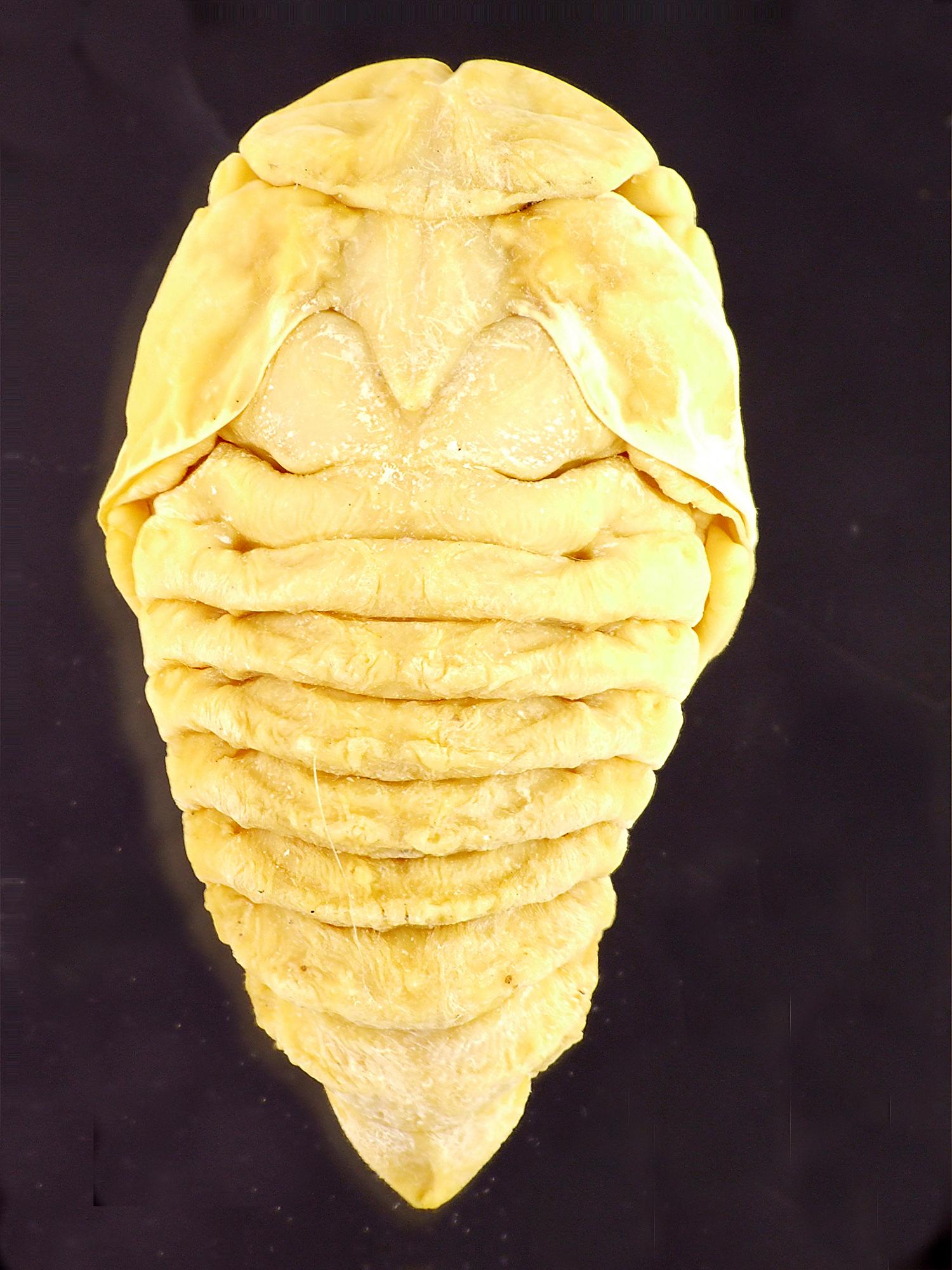 Osmoderma eremita nymph 39416cz21.jpg
