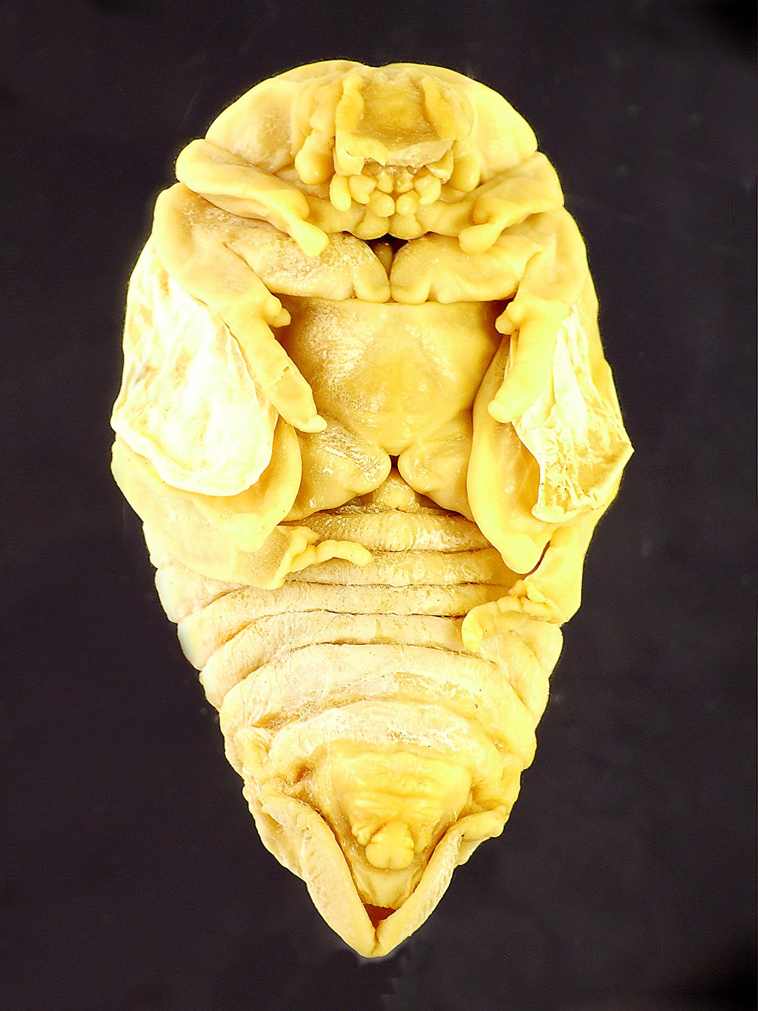 Osmoderma eremita nymph 39425cz30.jpg