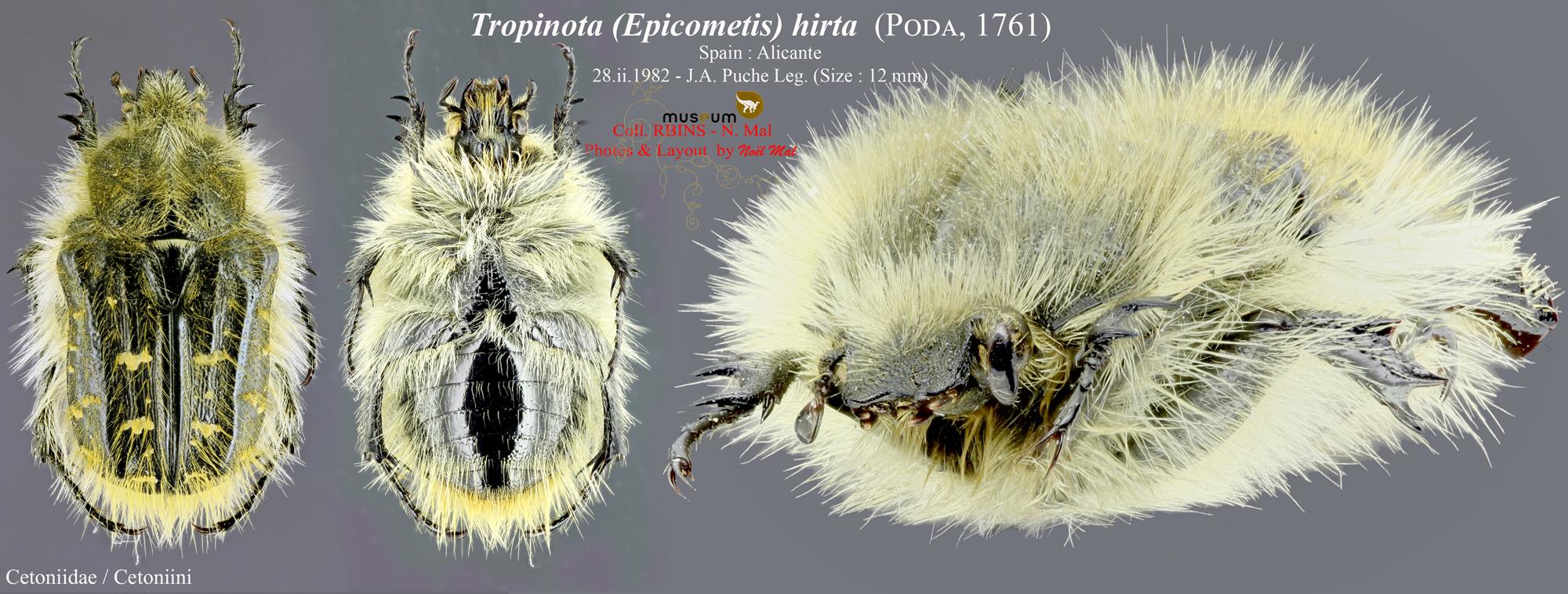 Tropinota (Epicometis) hirta.jpg