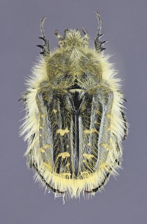 Tropinota (Epicometis) hirta 26825zs51.jpg