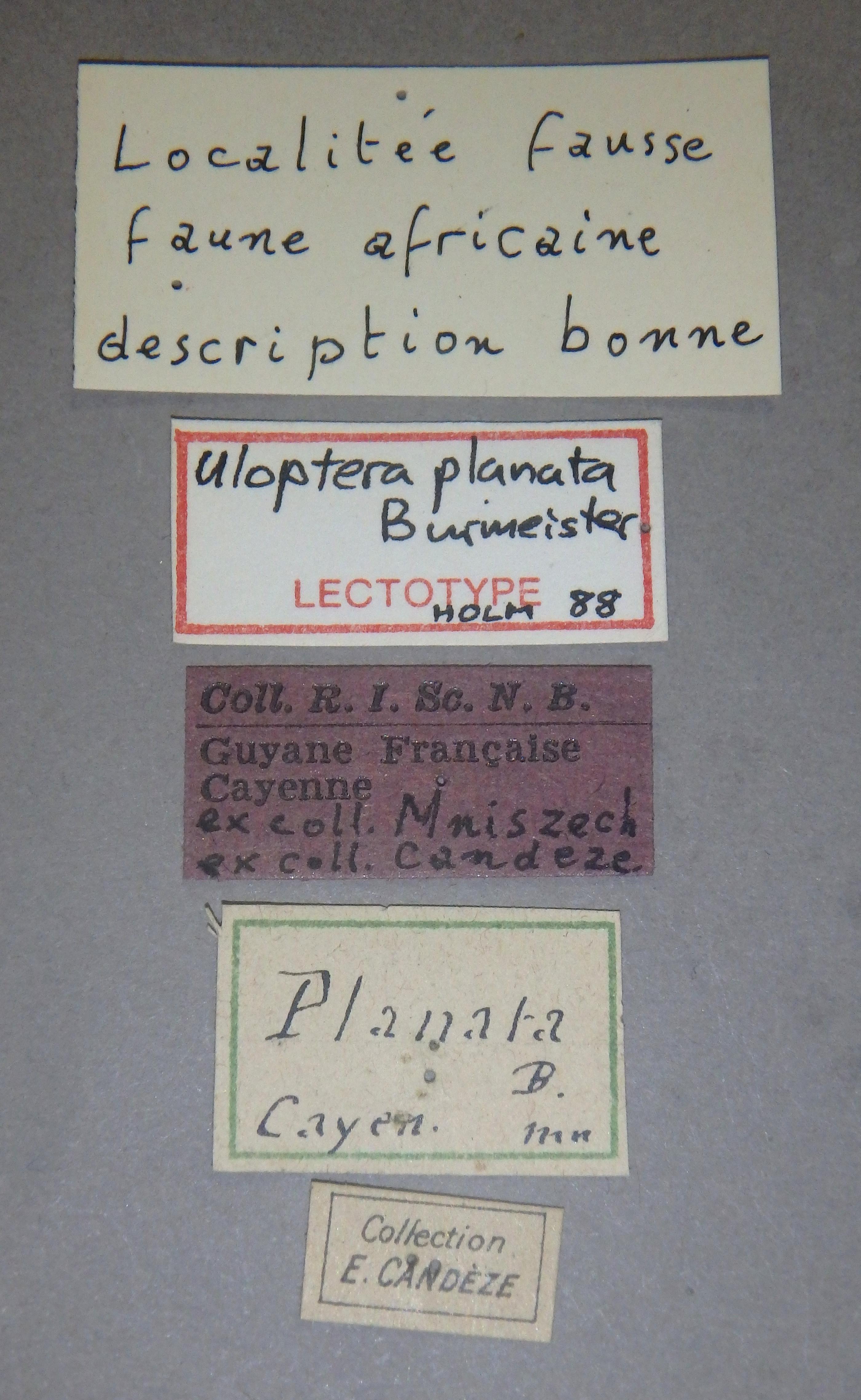 Uloptera planata lt Lb.JPG