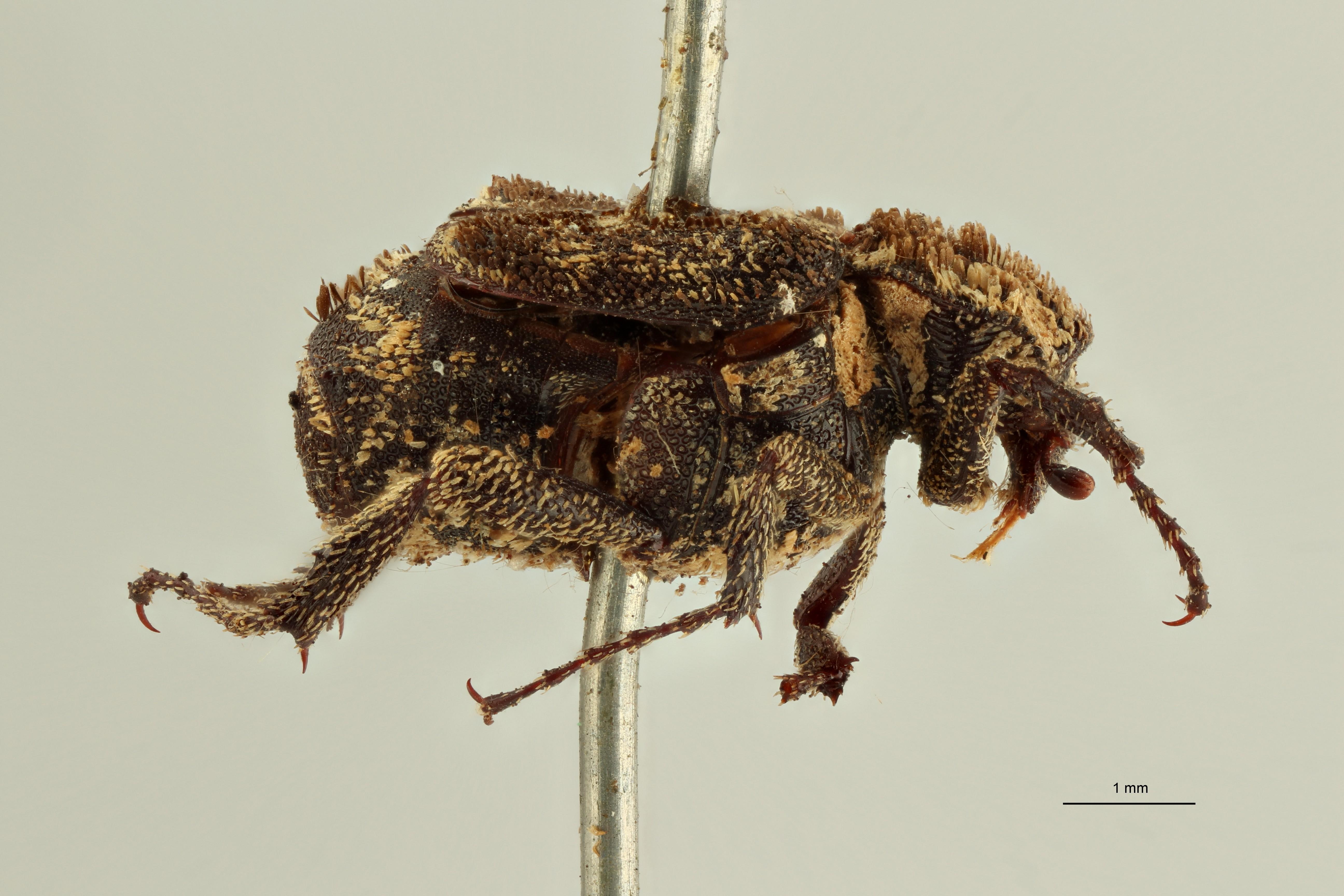 Charitovalgus pulcher t2 L ZS PMax Scaled.jpeg