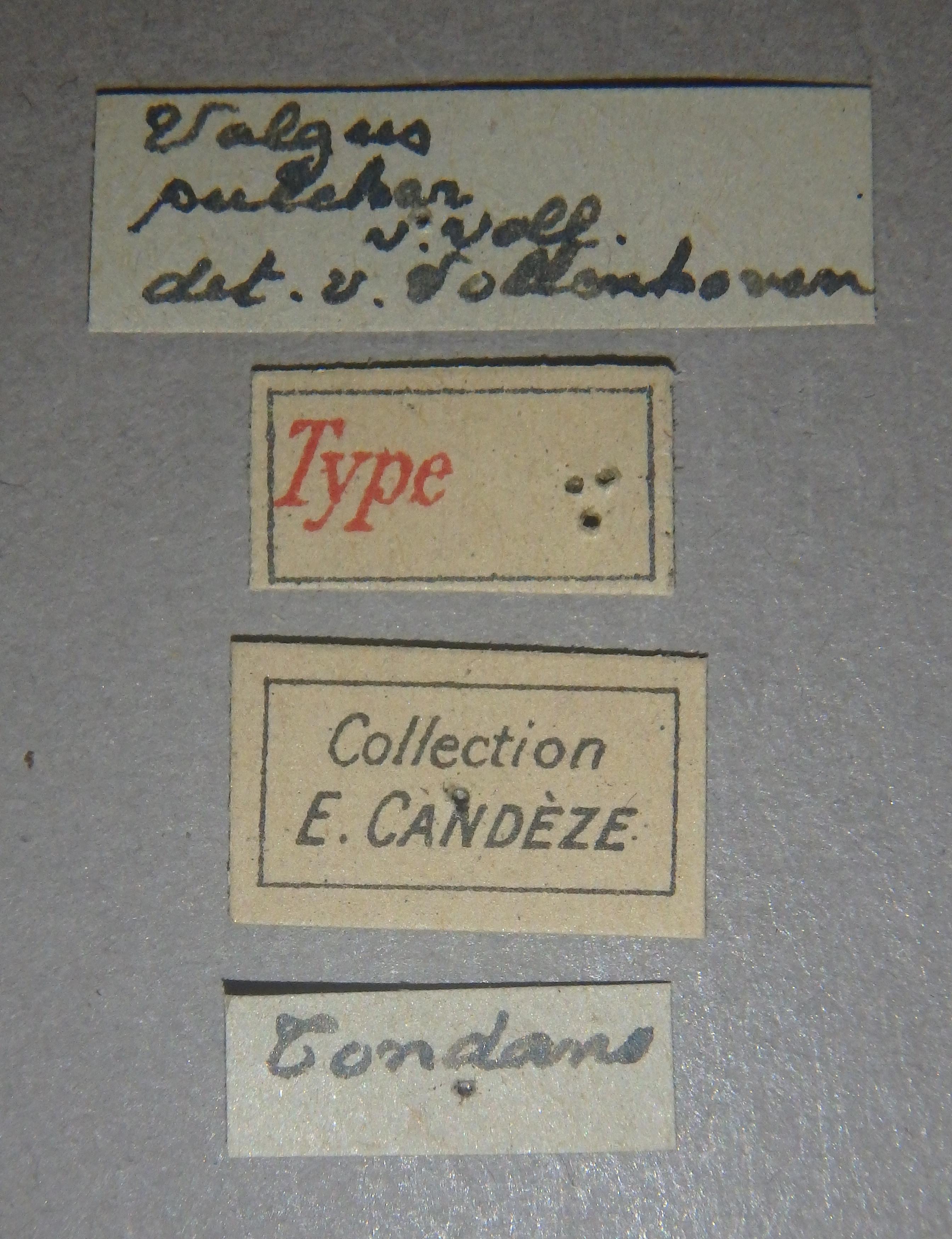 Charitovalgus pulcher t2 Lb.JPG