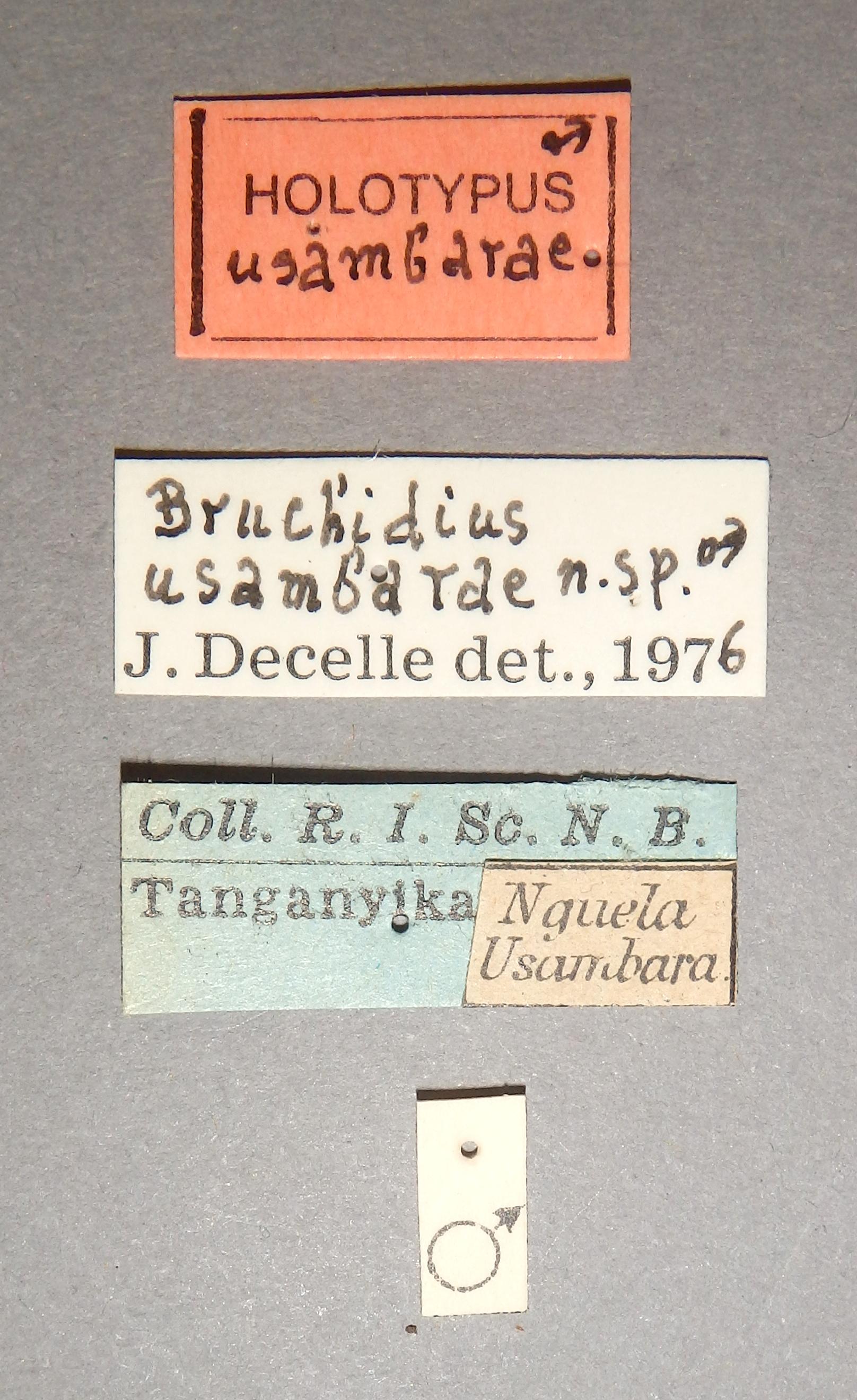 Bruchidius usambarae ht Lb.JPG