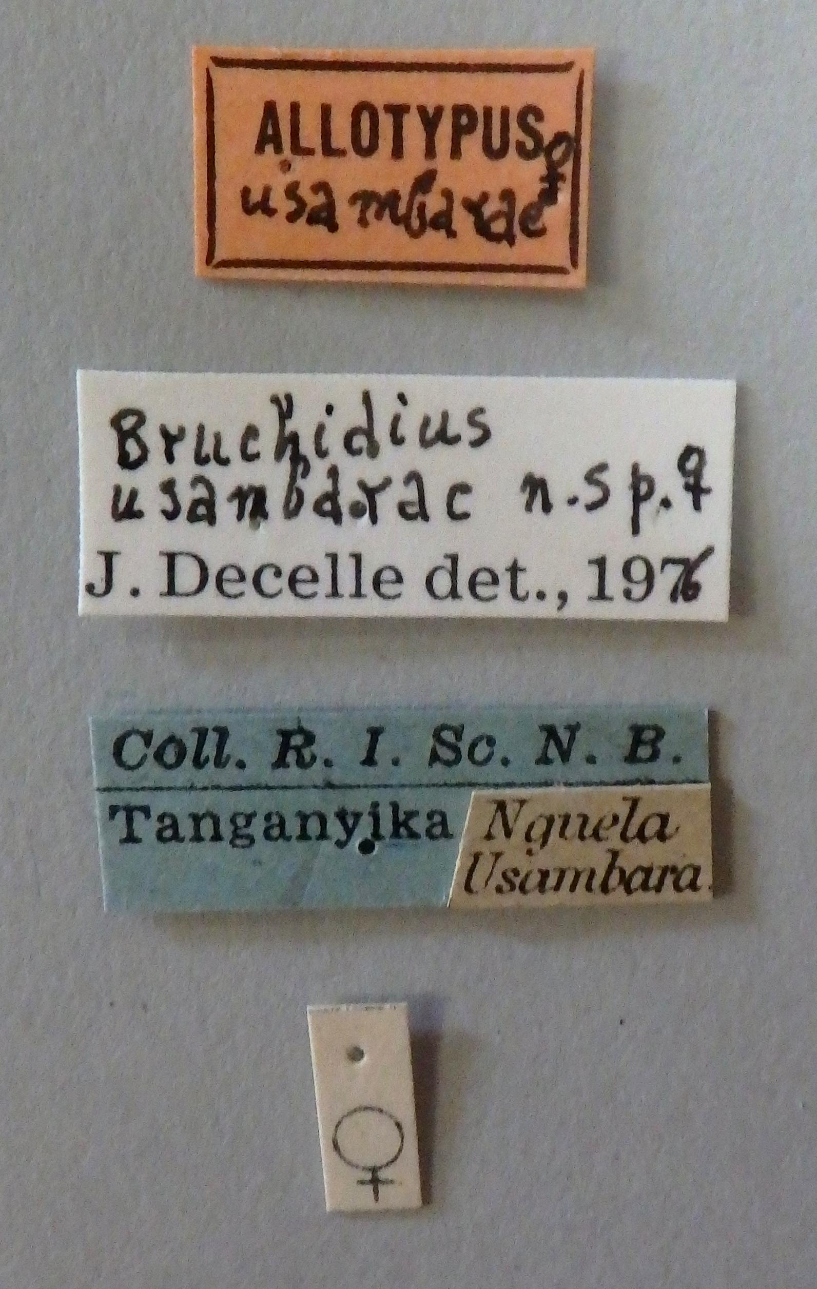 Bruchidius usambarae at Lb.JPG