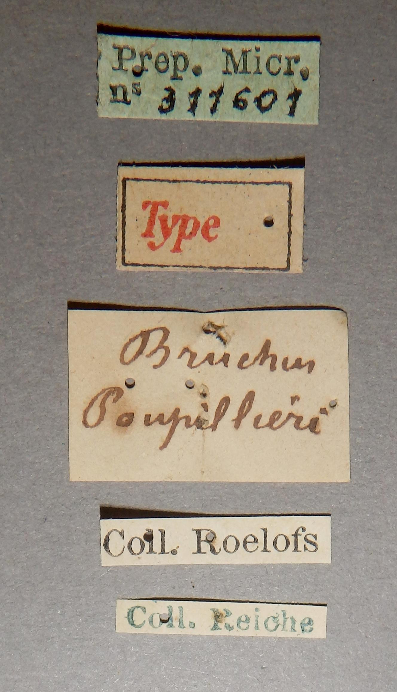 Bruchidius poupillieri t Lb.JPG