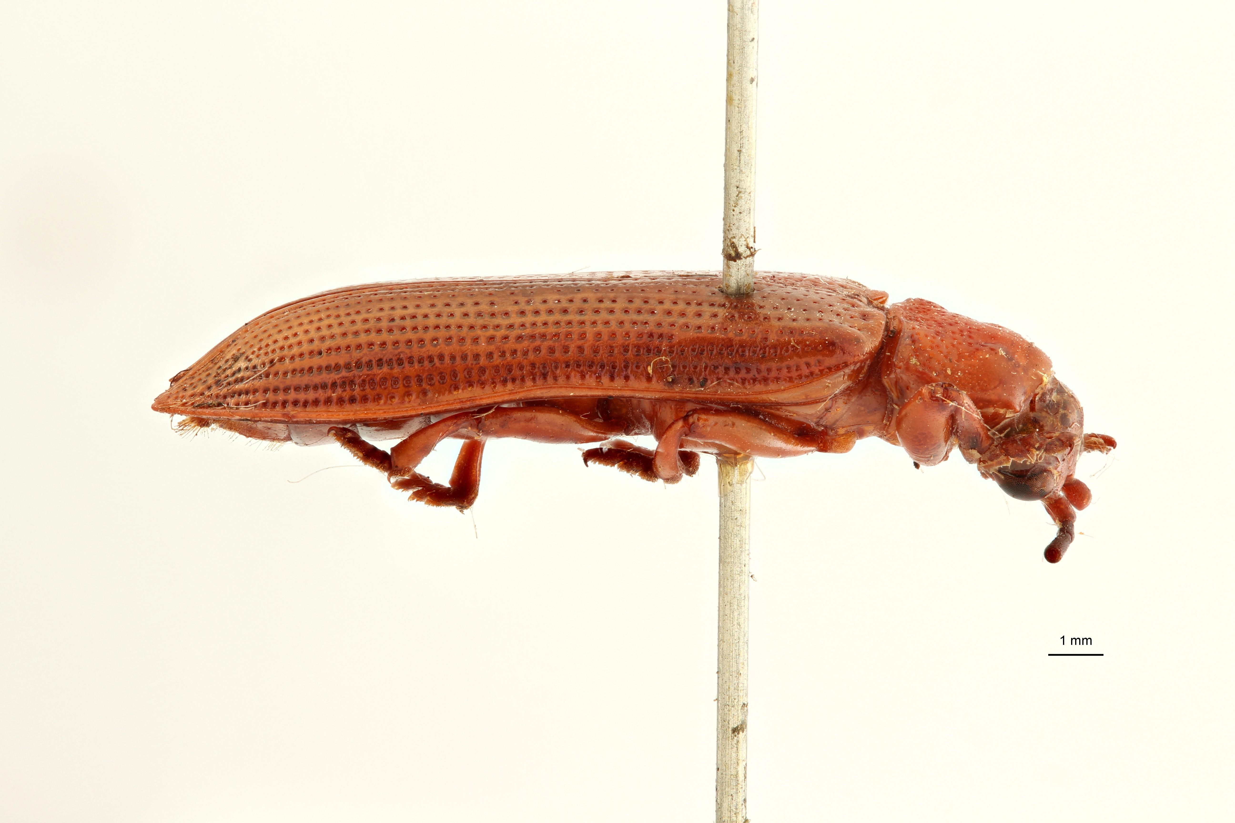 Botryonopa purpurascens st1 L ZS PMax Scaled.jpeg