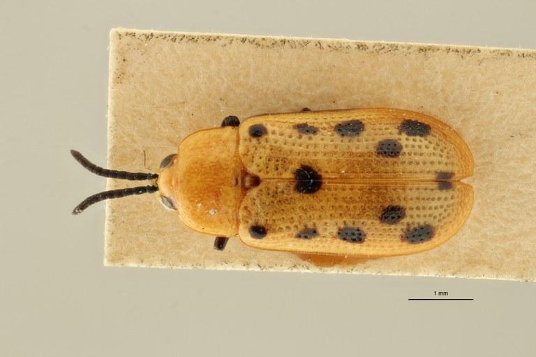 Callispa duodecimmaculata sp D ZS PMax Scaled.jpeg