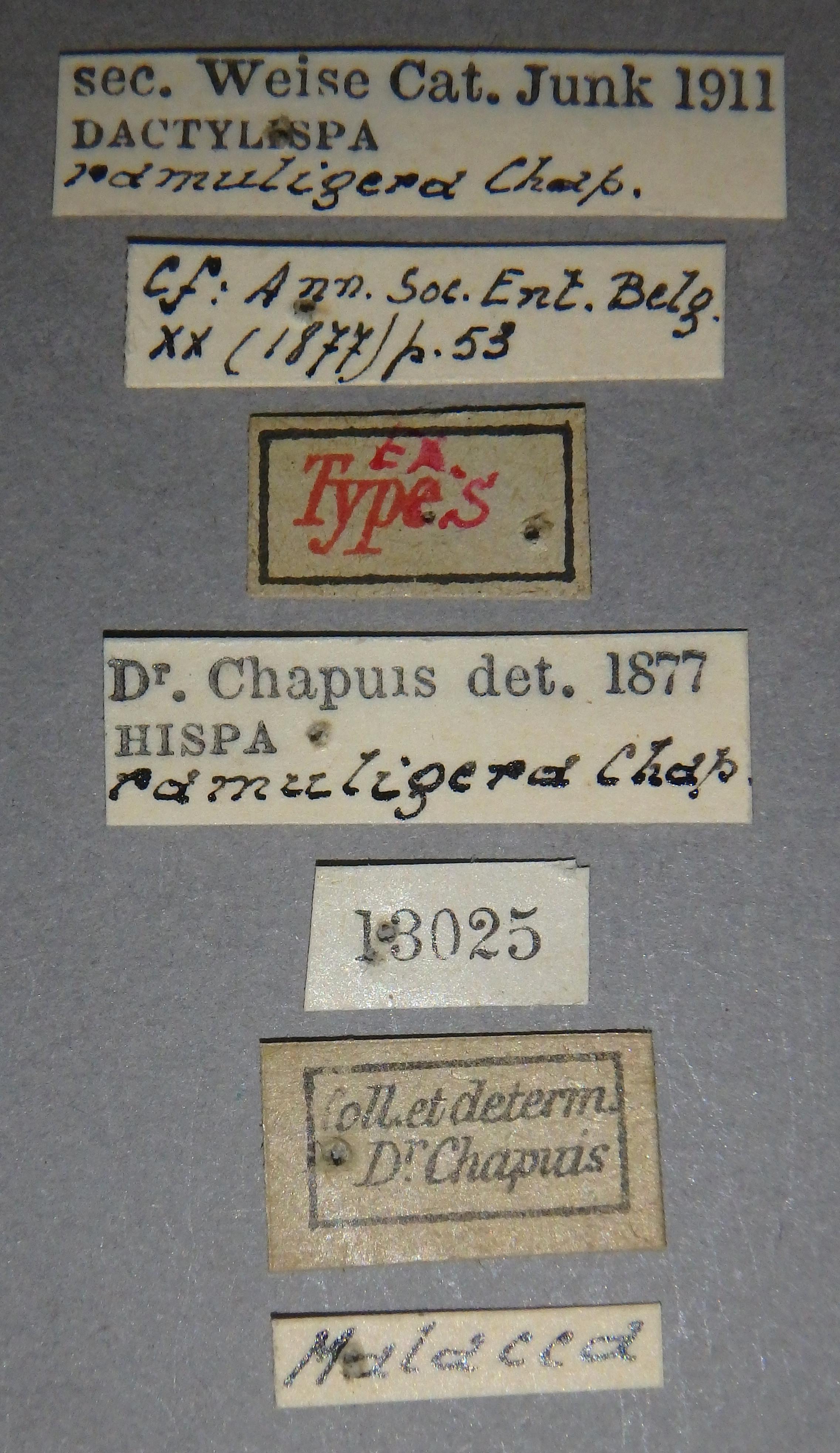 Hispa ramuligera et2 Lb.JPG