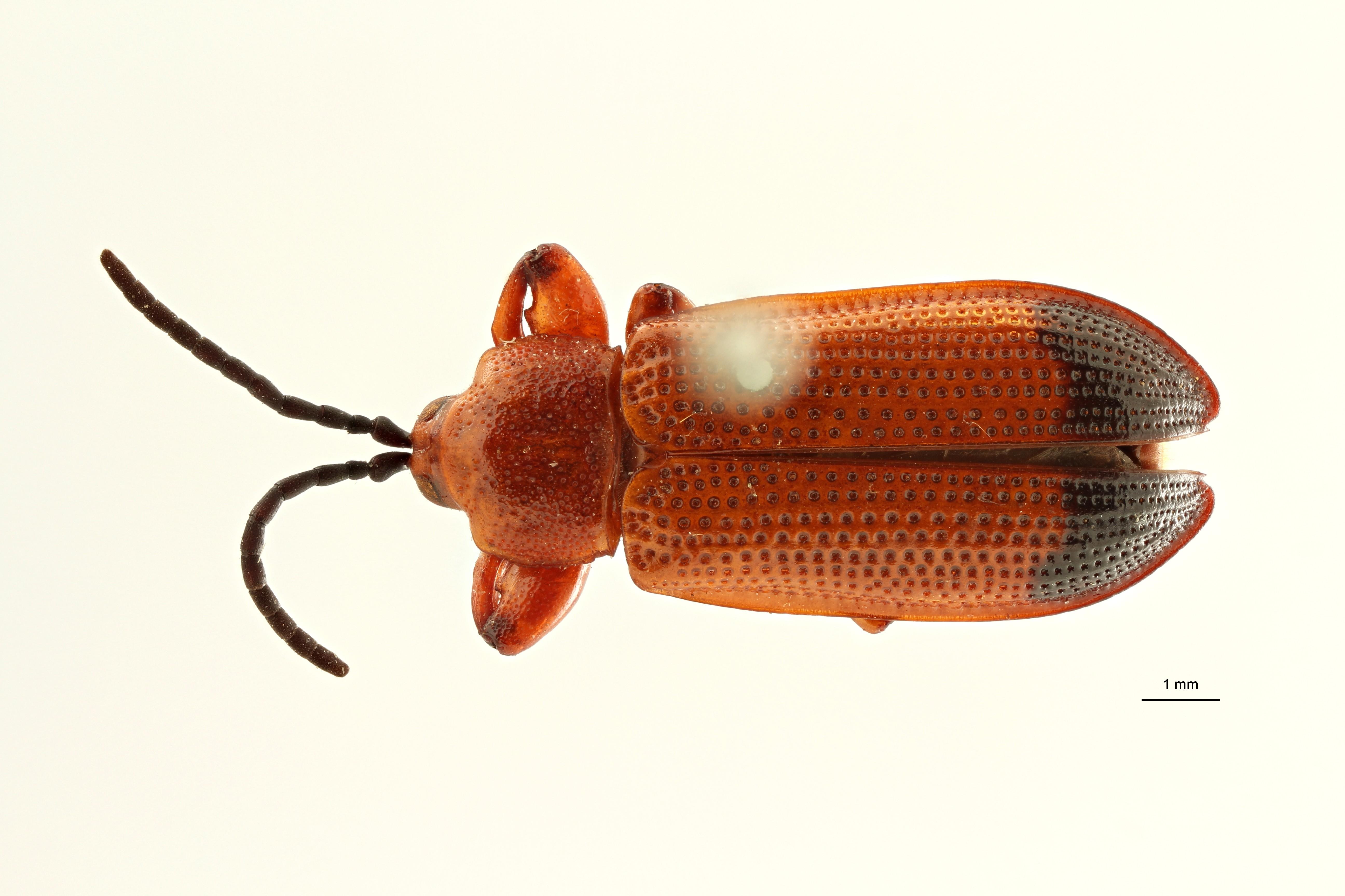 Hispopria punctatissima st2 D ZS PMax Scaled.jpeg