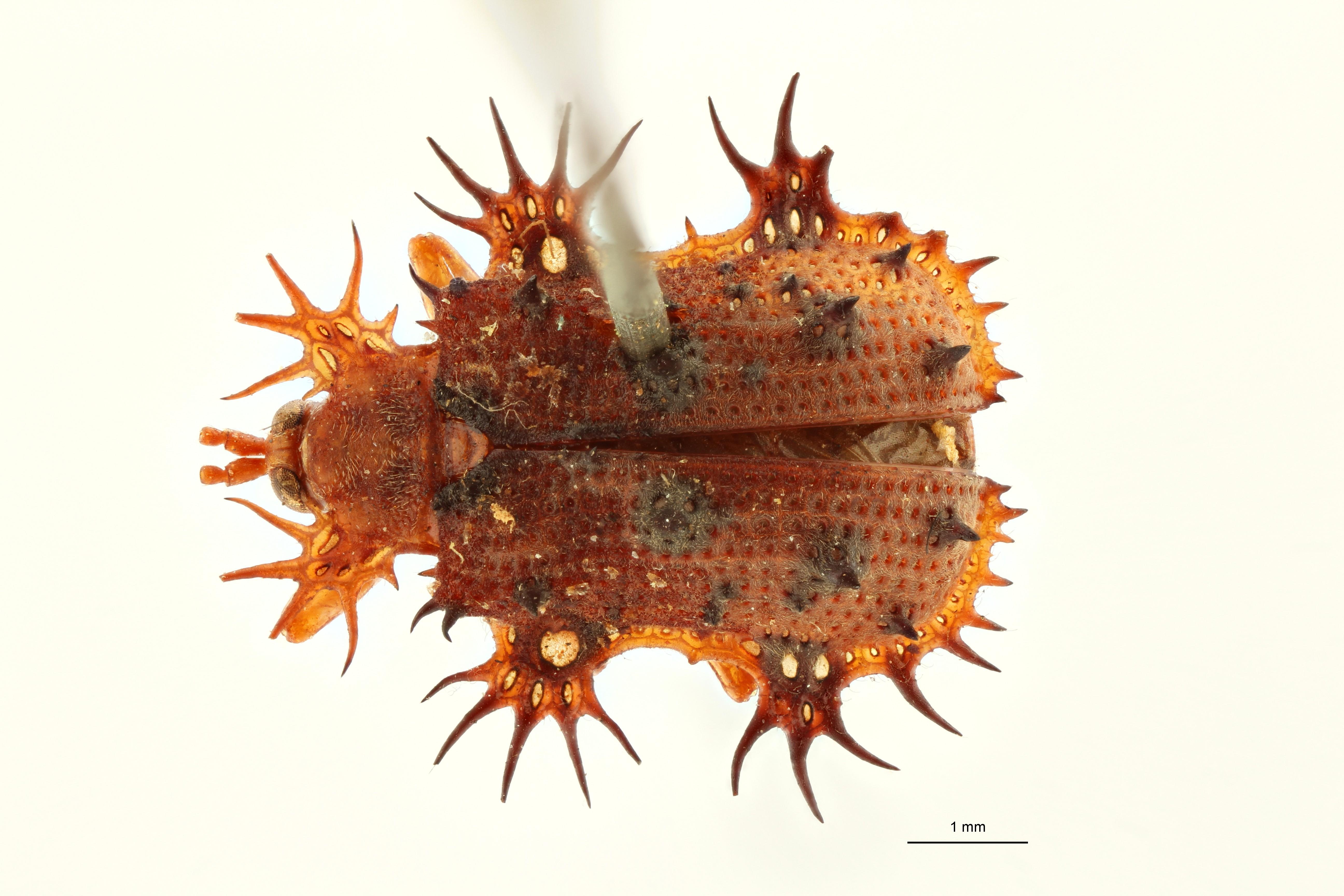Platypria (Platypria) subopaca t D ZS PMax Scaled.jpeg