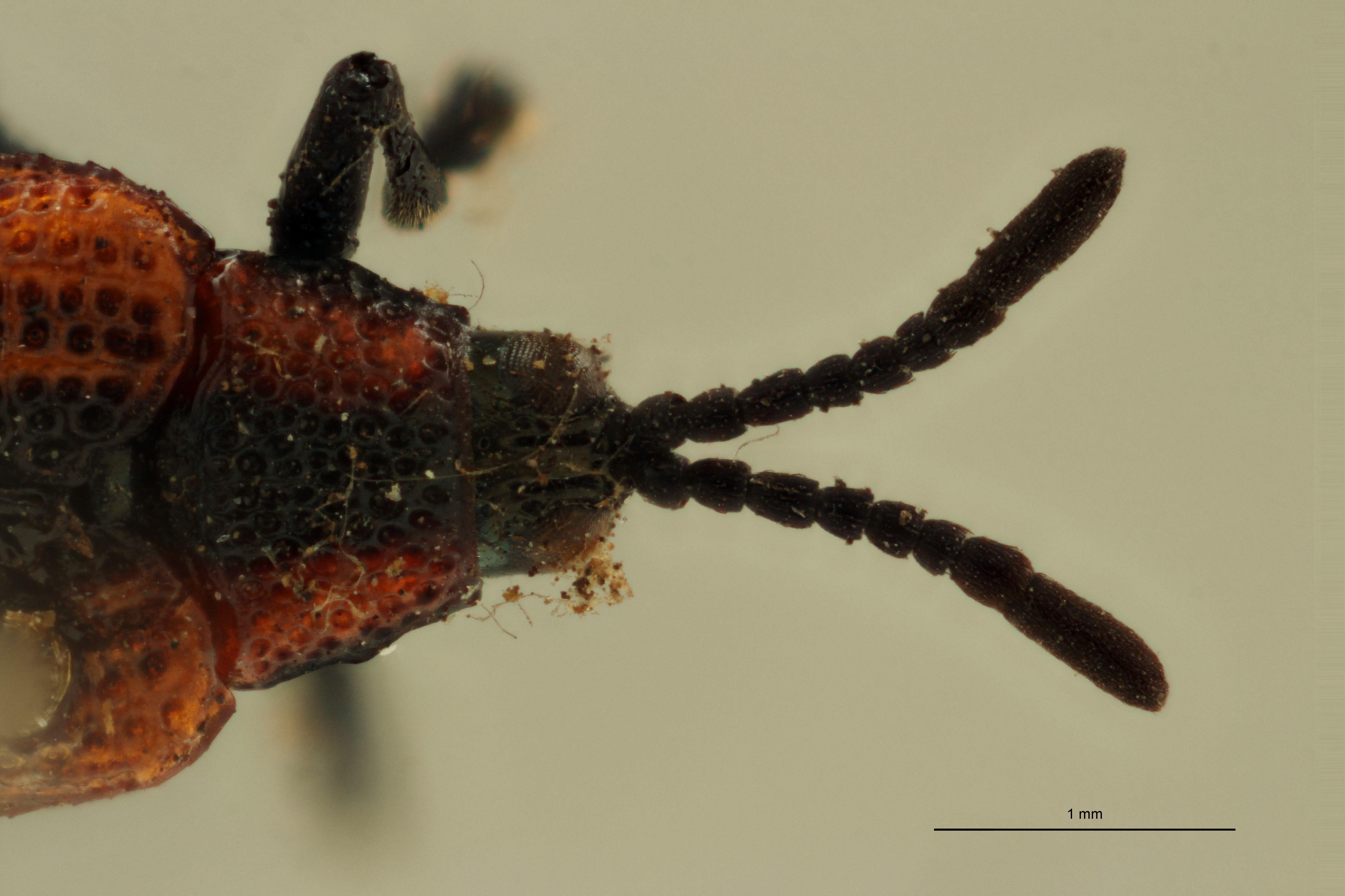 Uroplata (Pentispa) melanura ext H ZS PMax.jpg