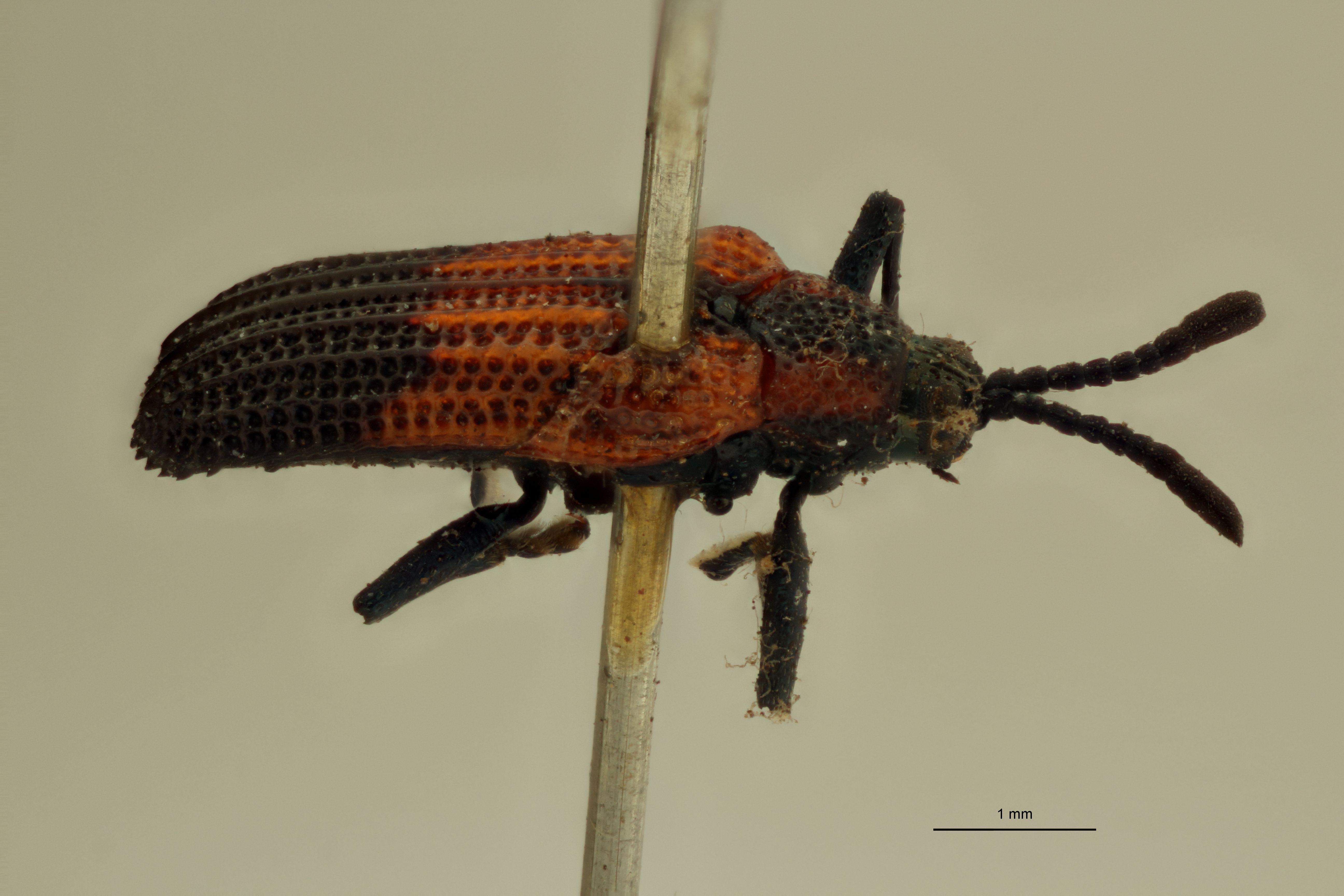 Uroplata (Pentispa) melanura ext L ZS PMax.jpg