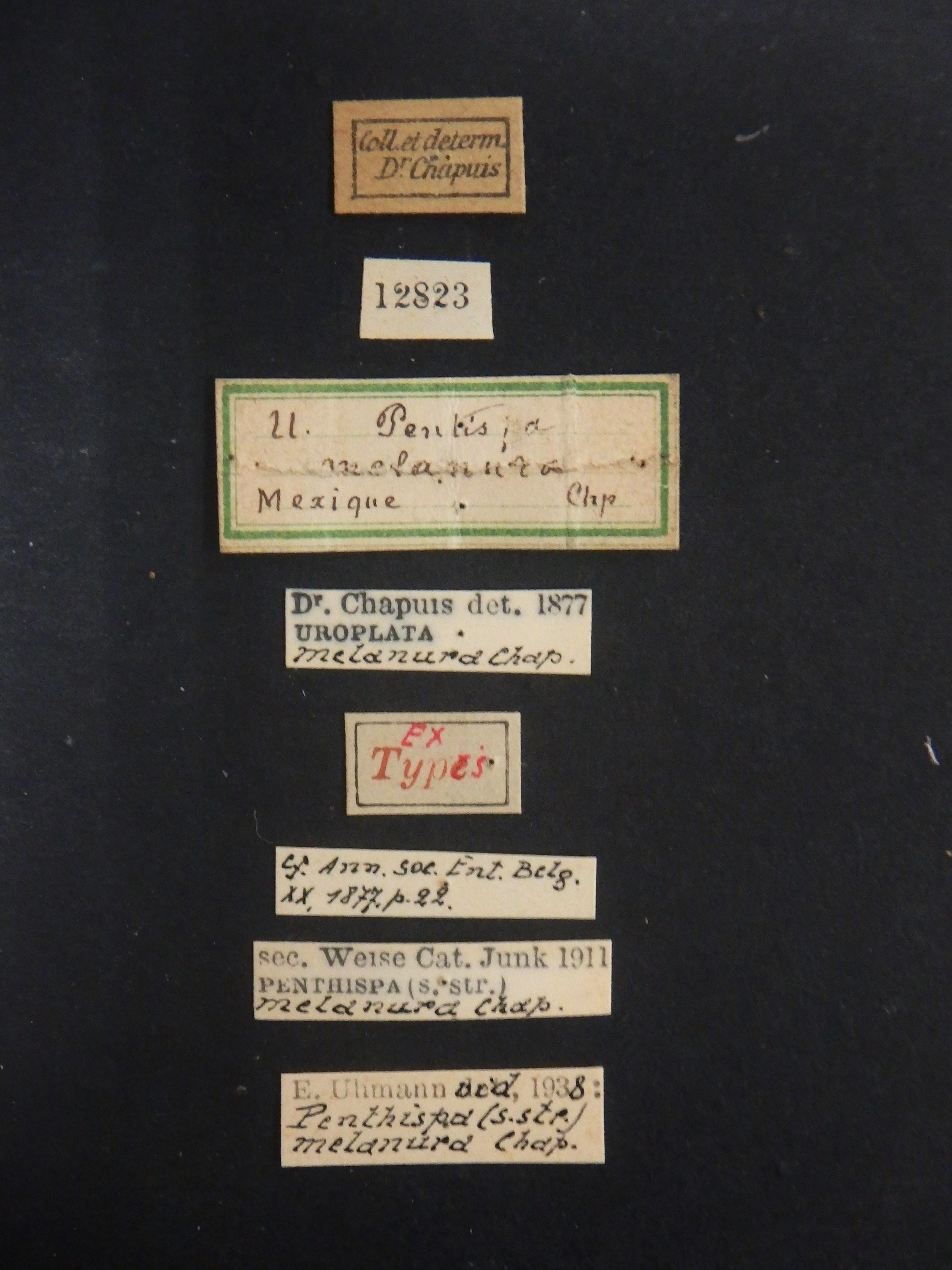 Uroplata (Pentispa) melanura ext Lb.JPG