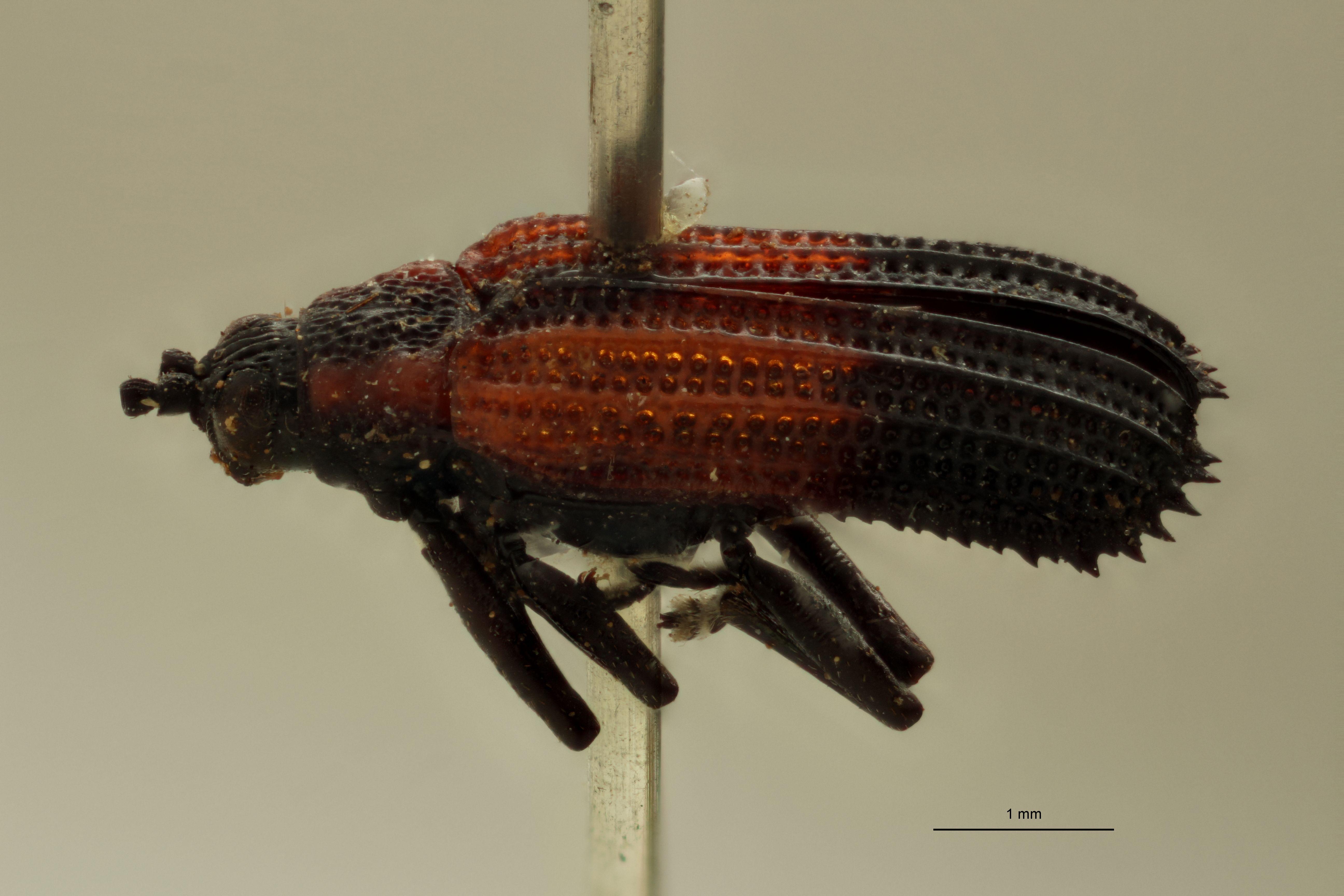 Uroplata (Pentispa) rodriguezi ext L ZS PMax.jpg