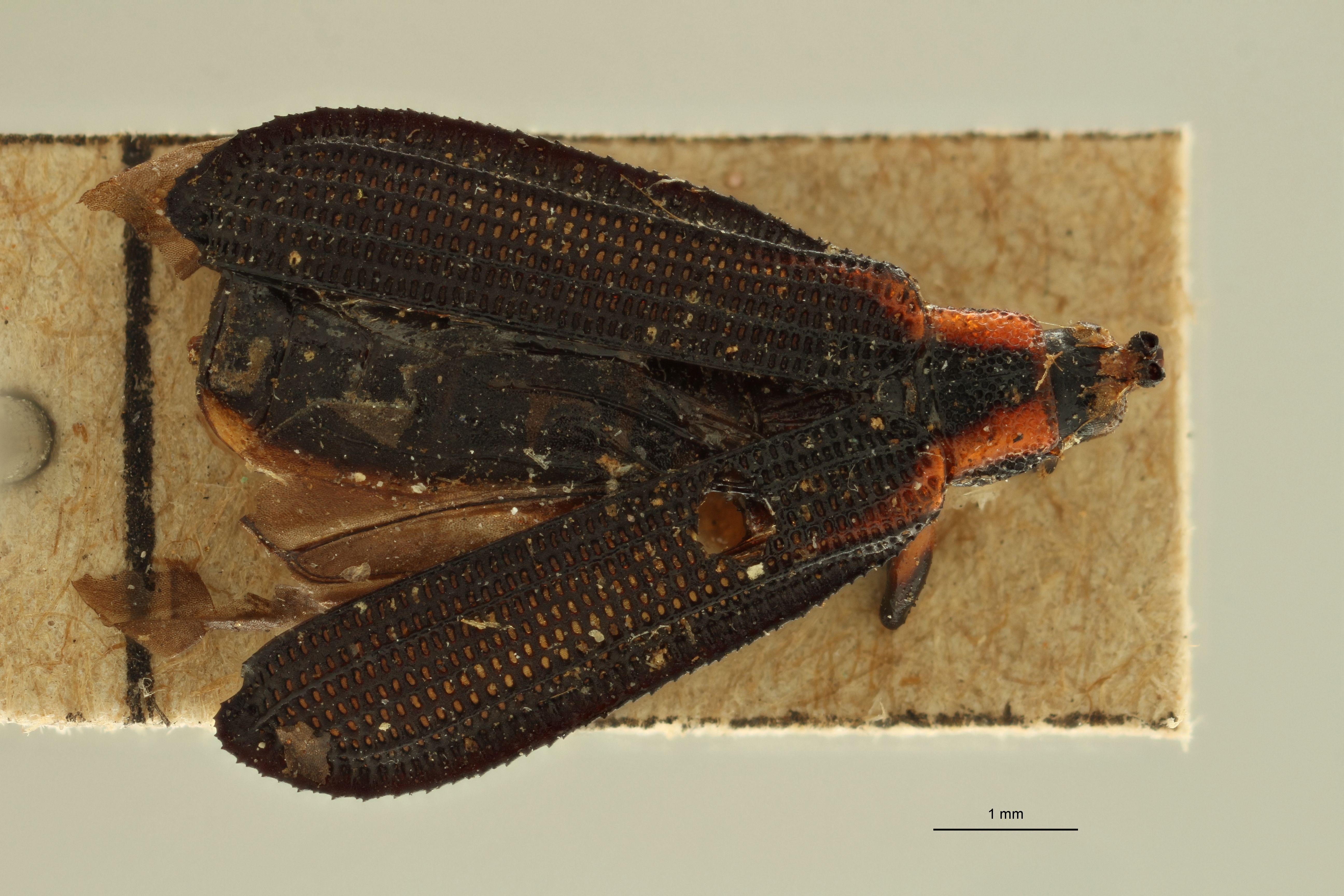 Uroplata (Uroplata) aberrans t D ZS PMax.jpg