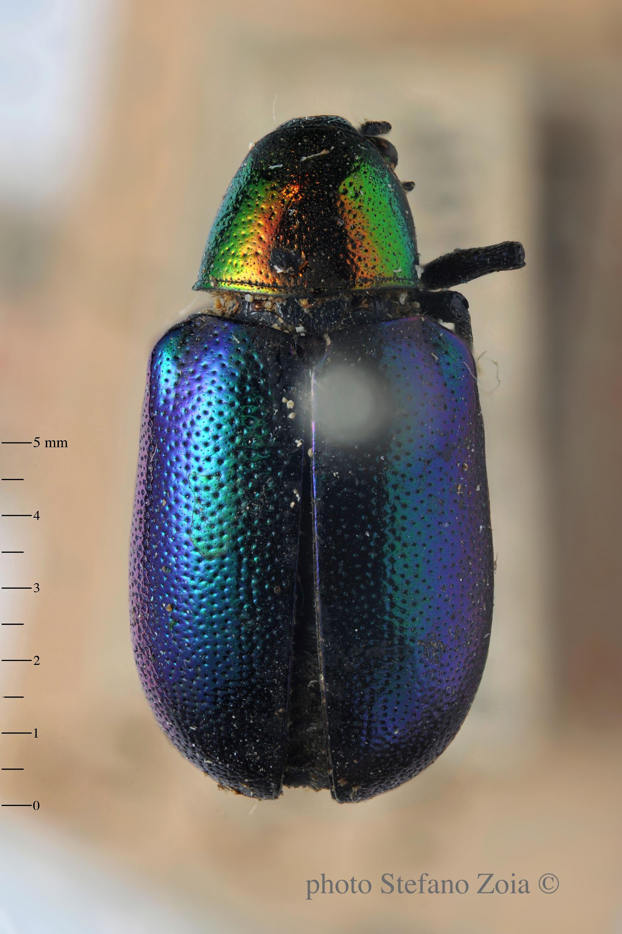 BE-RBINS-ENT Corynodes dejeani subspecies tanganykae 1 - 5894 - 5911.JPG