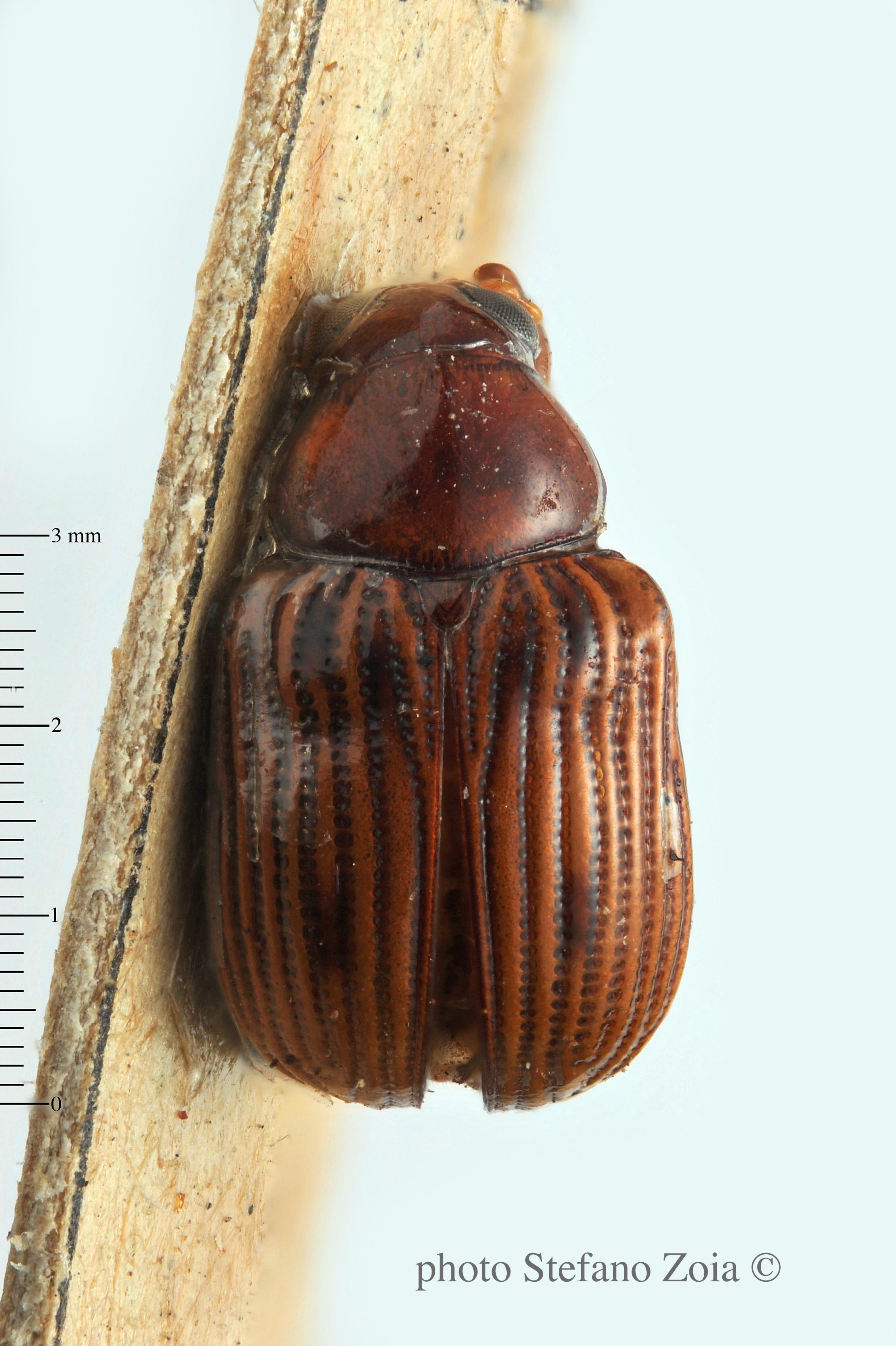 BE-RBINS-ENT Eurydemus brevilineatus 1 - 6431 - 6451.JPG