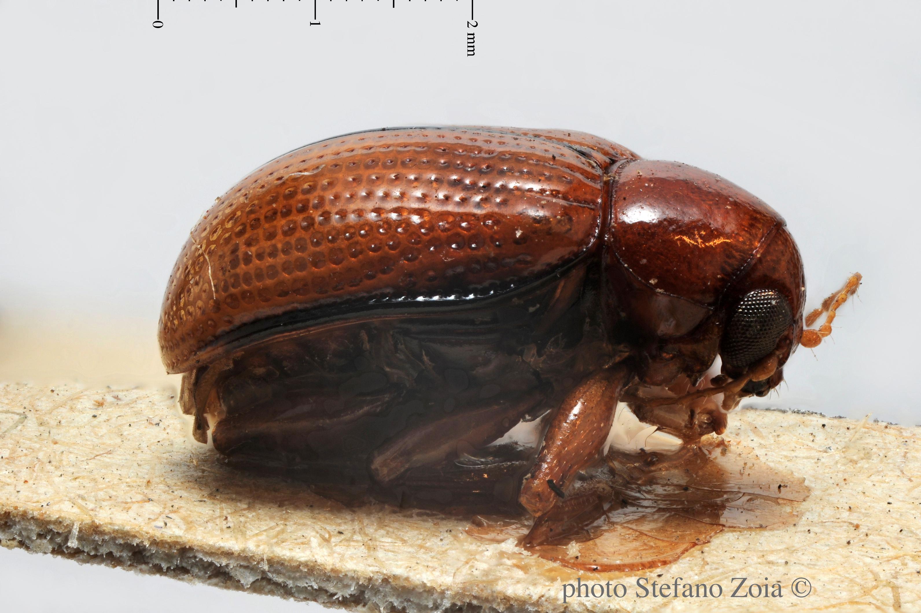 BE-RBINS-ENT Afroeurydemus marginatus 1 - 7297 - 7328.JPG