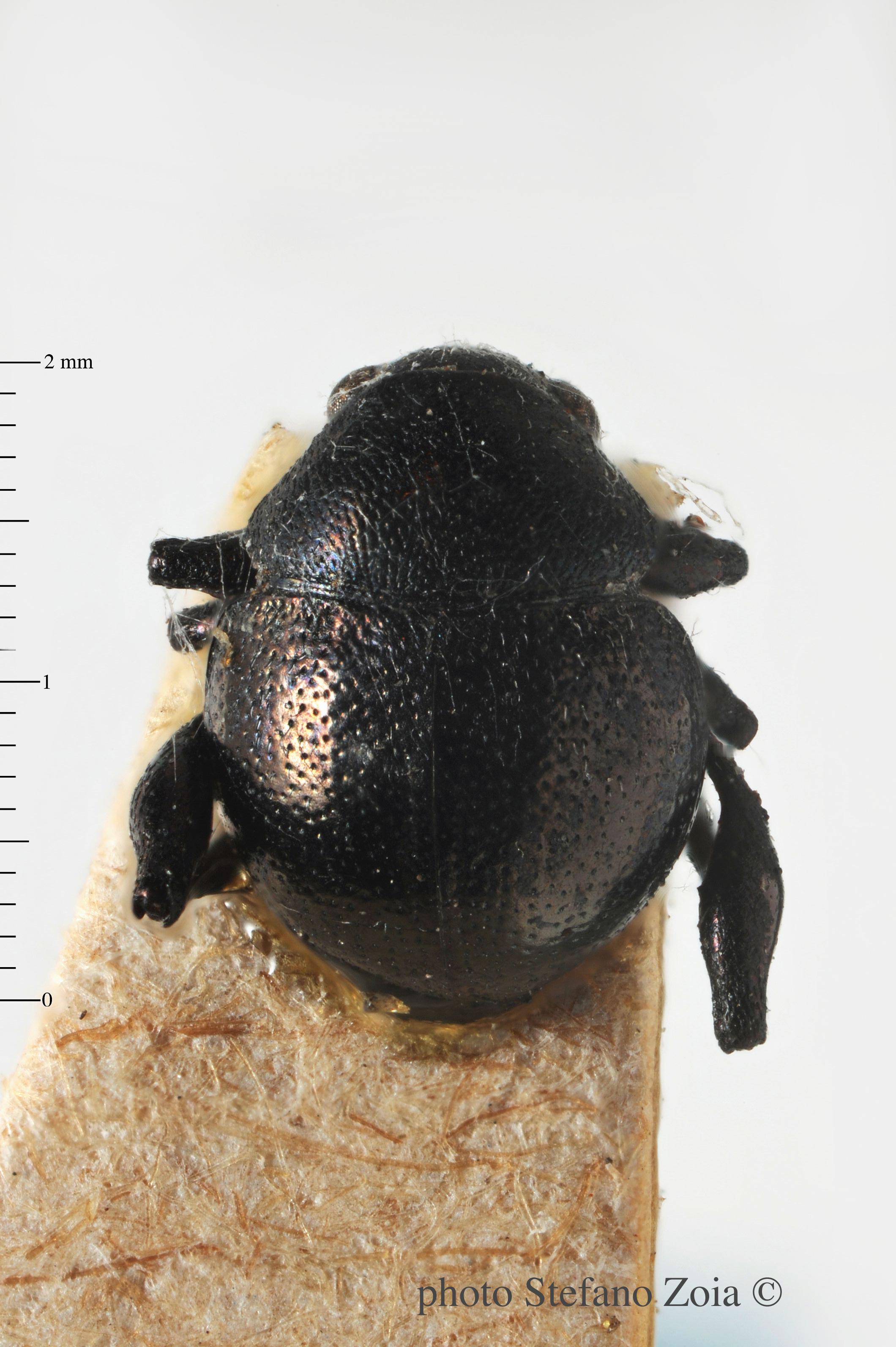 BE-RBINS-ENT Eurytus balyi 1 - 7628 - 7645.JPG