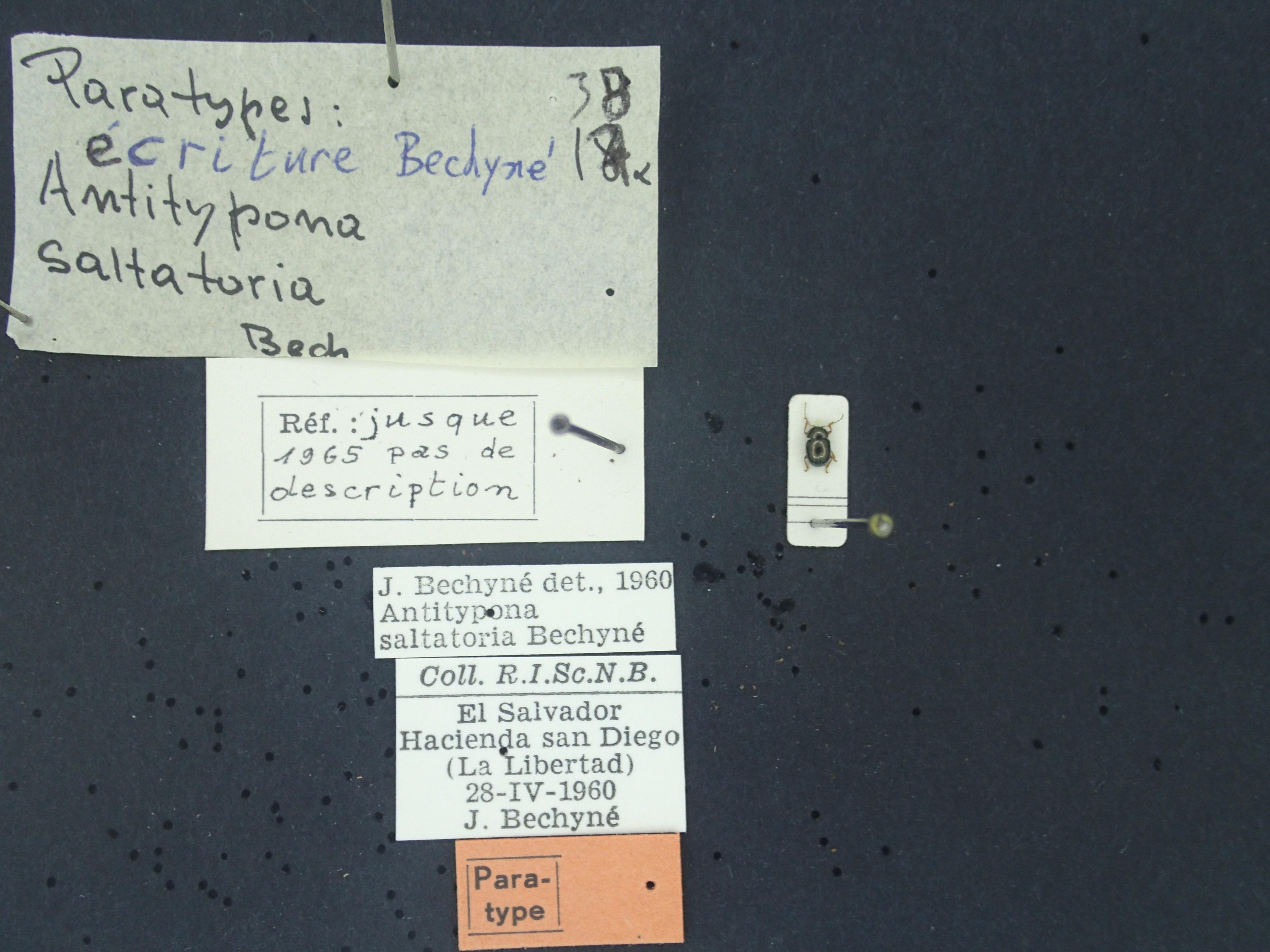 BE-RBINS-ENT Antitypona saltatoria K30_D01_035 Label.JPG