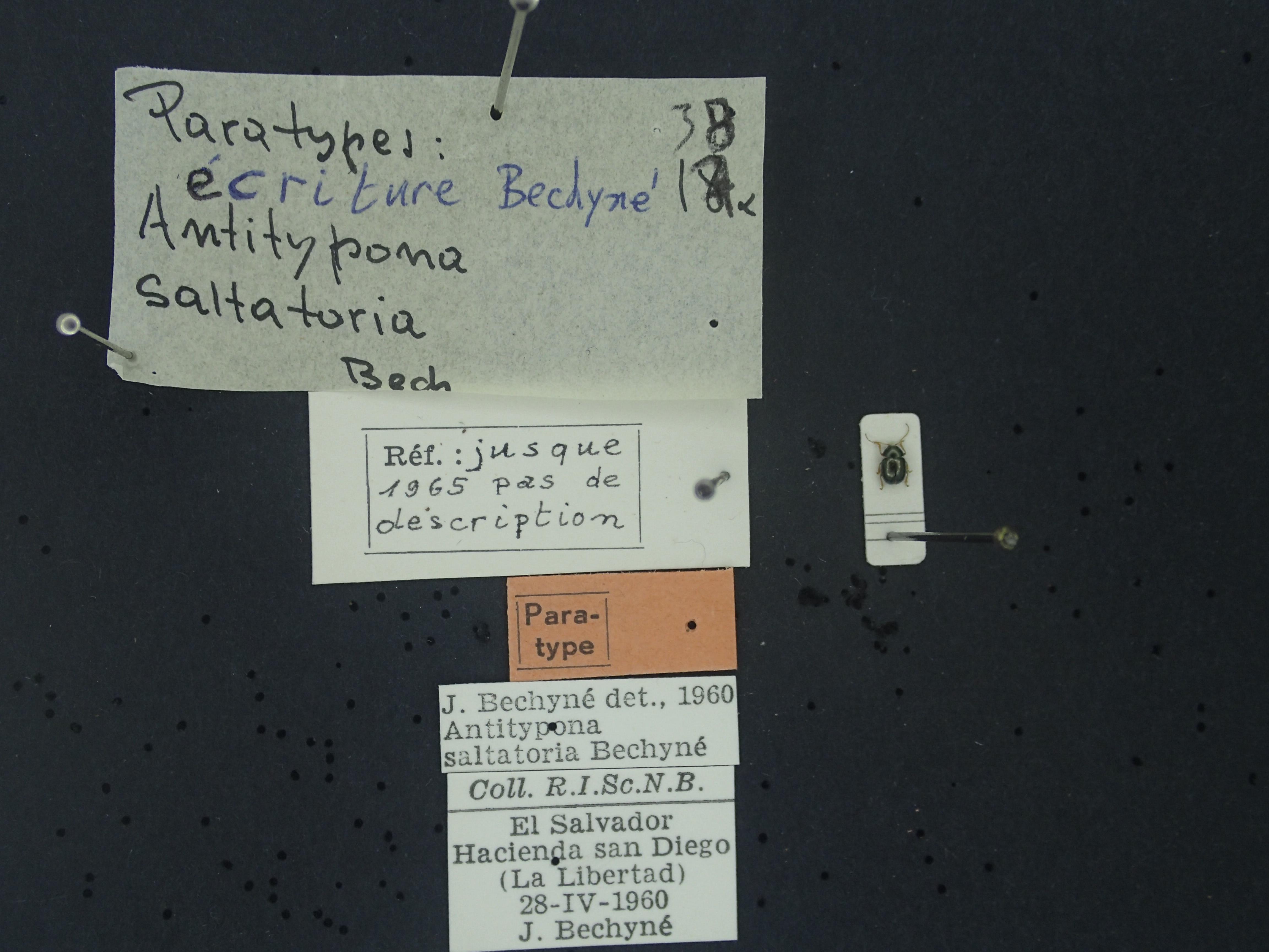 BE-RBINS-ENT Antitypona saltatoria K30_D01_040 Label.JPG