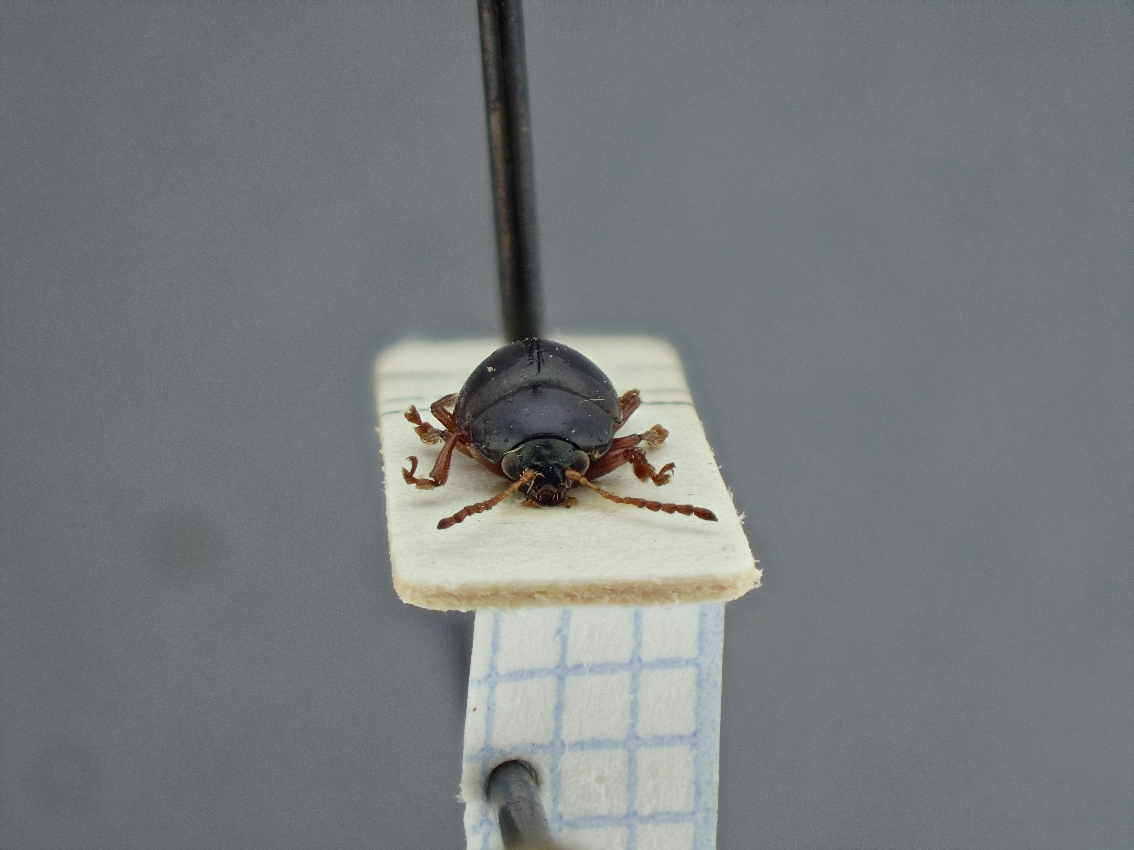 BE-RBINS-ENT Brachypnoea aridicola K30_D01_082 Frontal.jpg