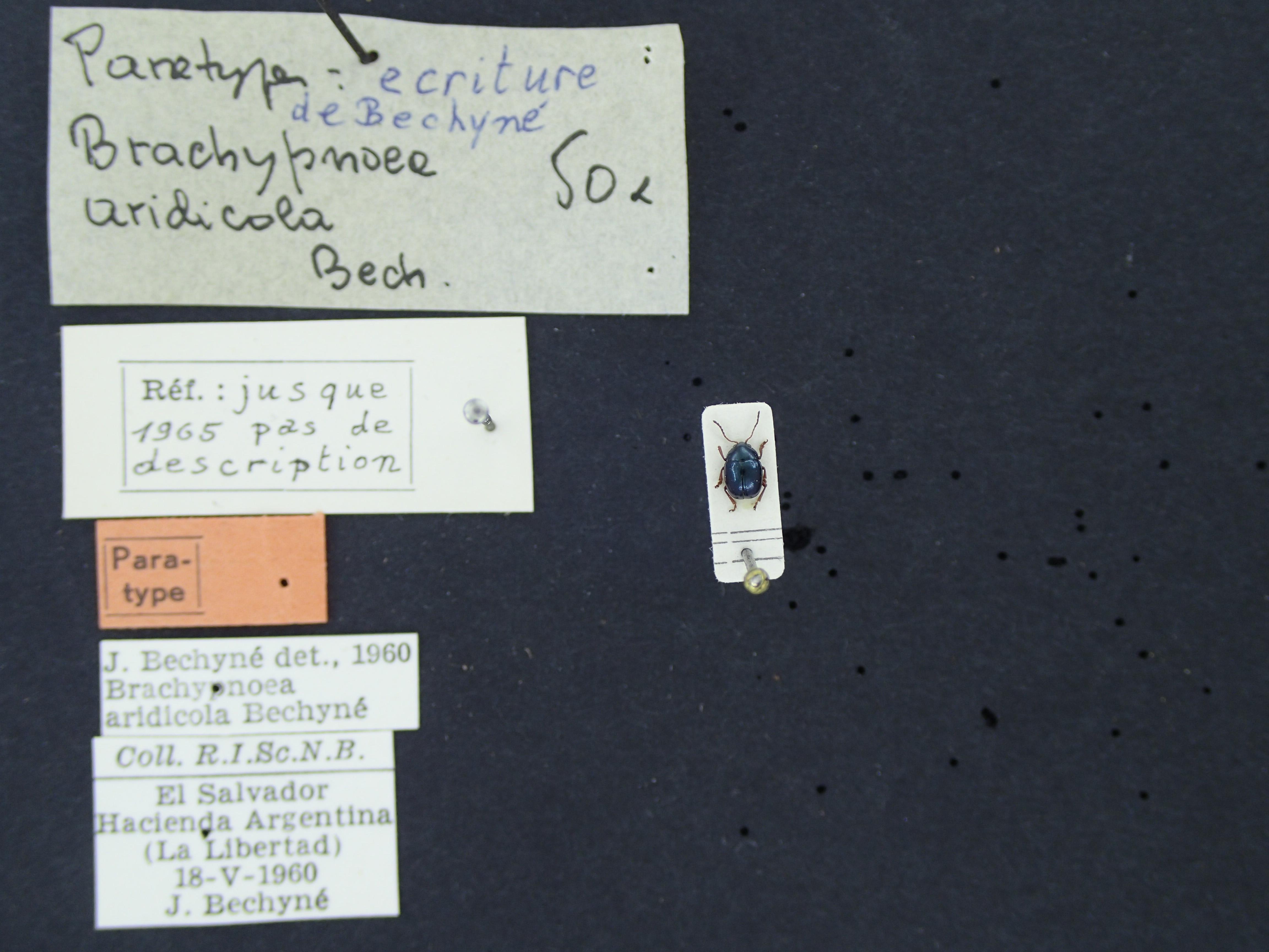 BE-RBINS-ENT Brachypnoea aridicola K30_D01_087 Label.JPG